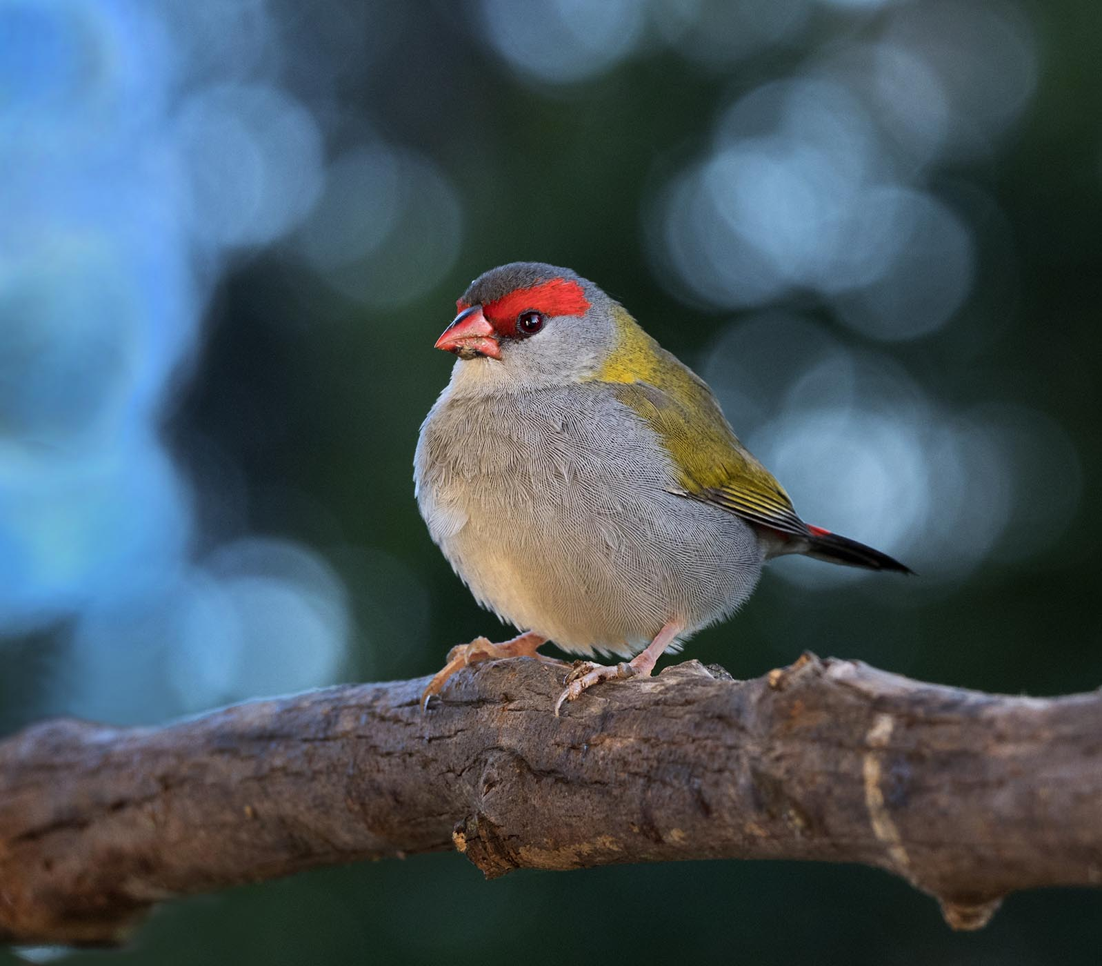 Red-browed Finch (Image ID 43899)