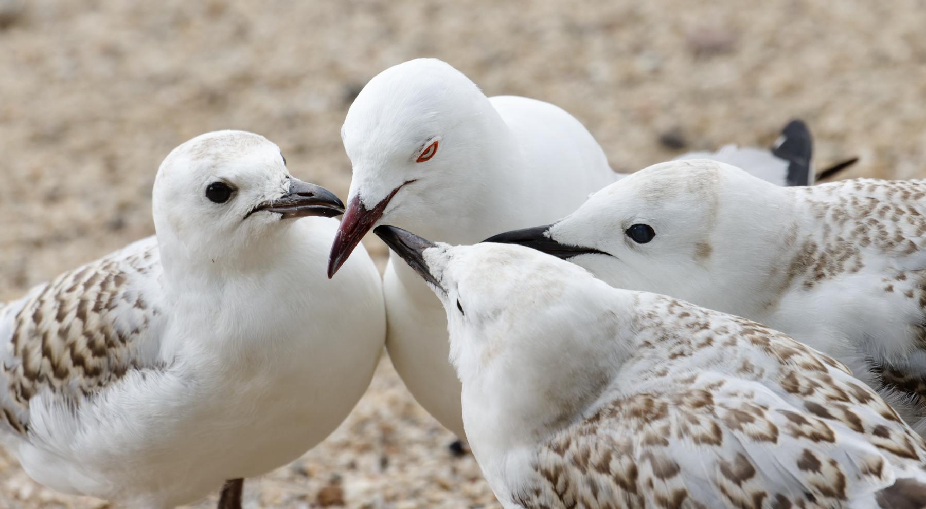 Silver Gull (Image ID 43760)
