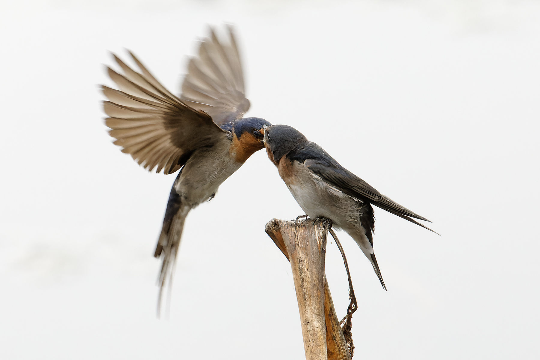 Welcome Swallow (Image ID 43759)