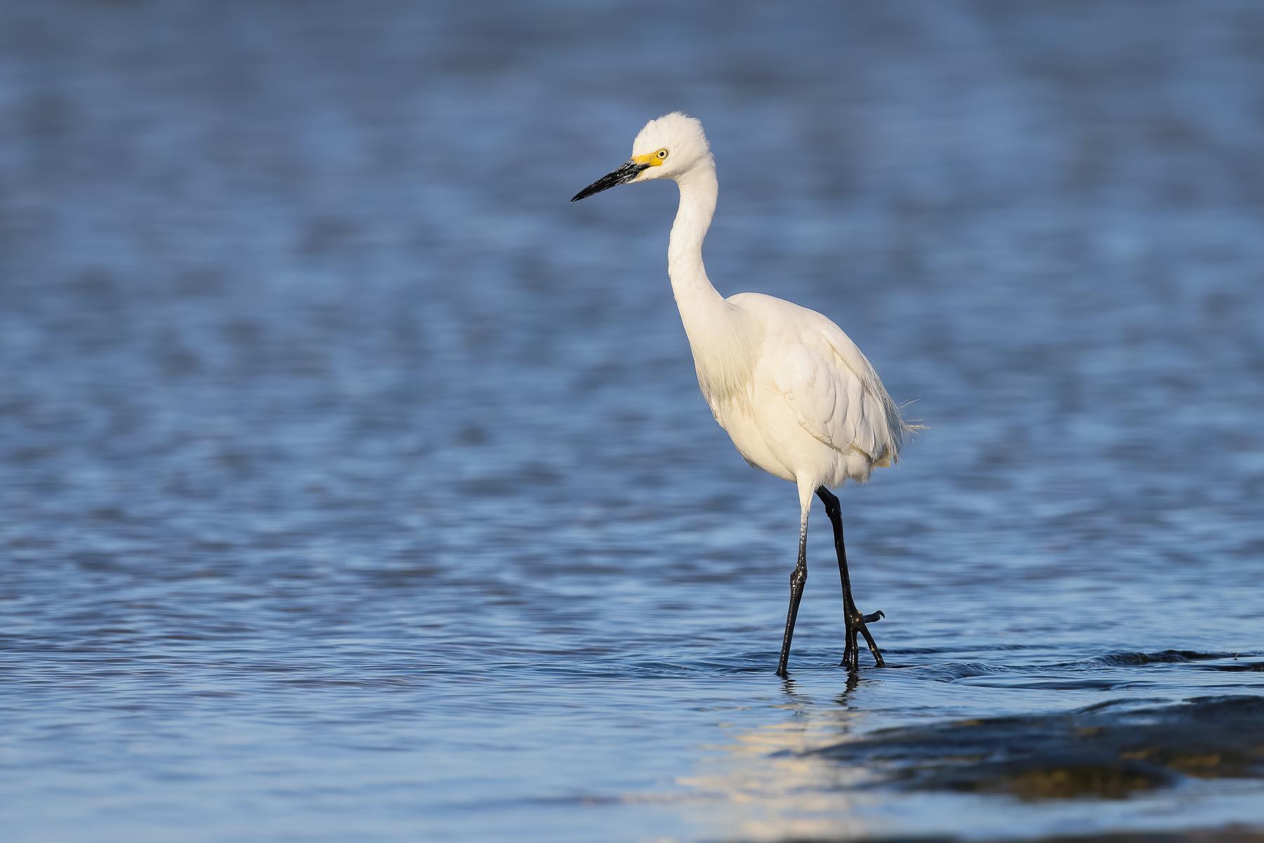 Little Egret (Image ID 44036)