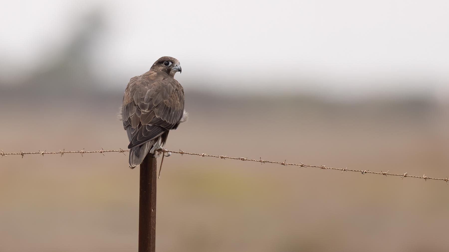 Black Falcon (Image ID 43773)