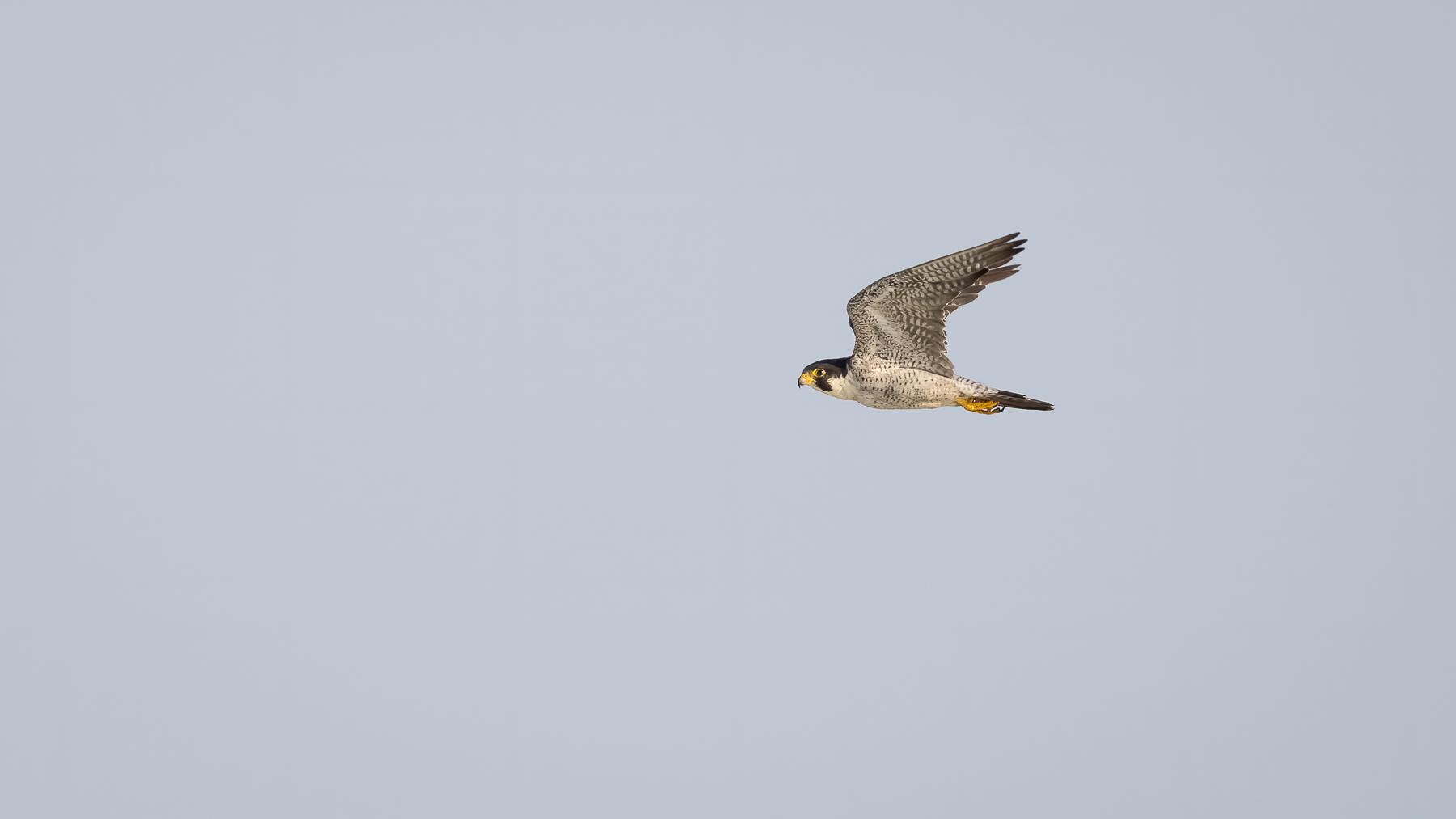 Peregrine Falcon (Image ID 44042)