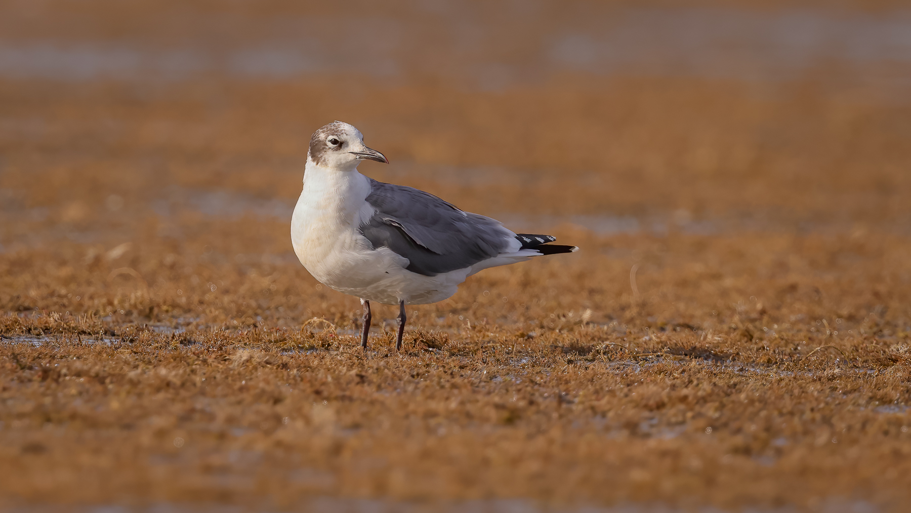 Franklin's Gull (V) (Image ID 44001)