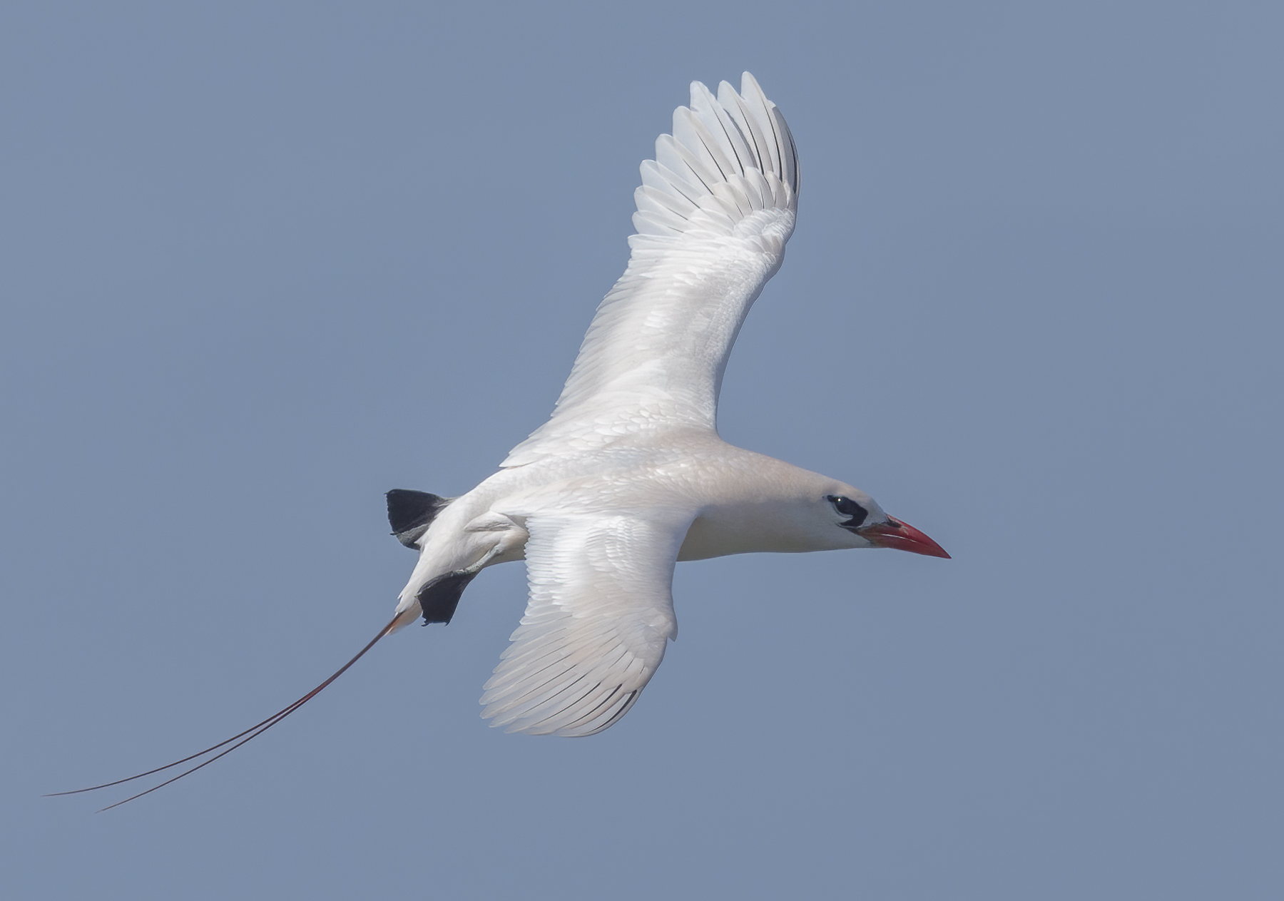Red-tailed Tropicbird (Image ID 43820)