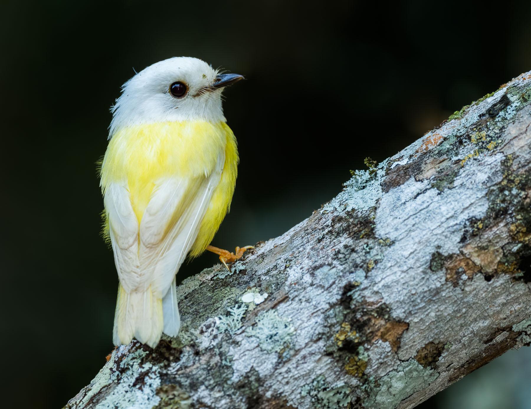 Pale-yellow Robin (Image ID 43667)