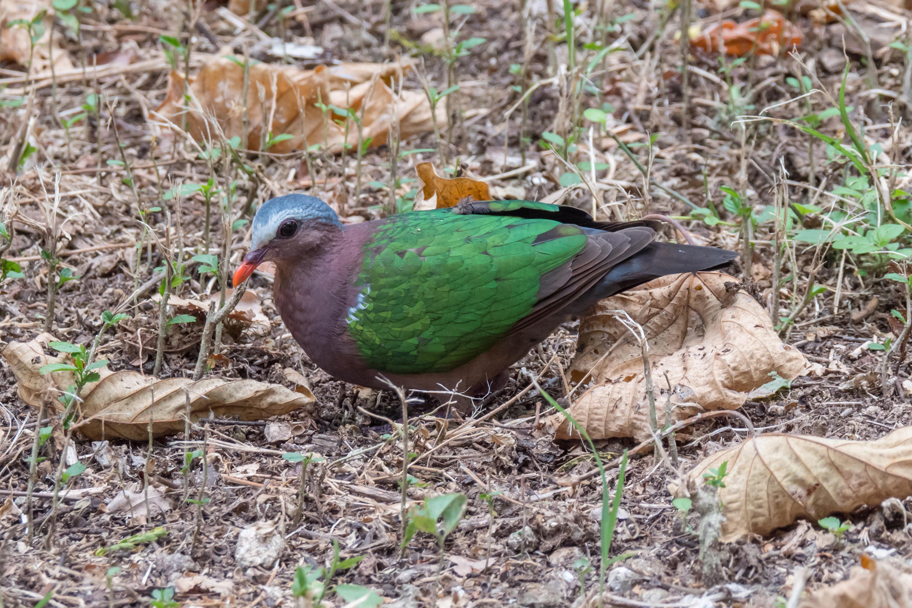 Grey-capped Emerald-Dove (Image ID 43671)