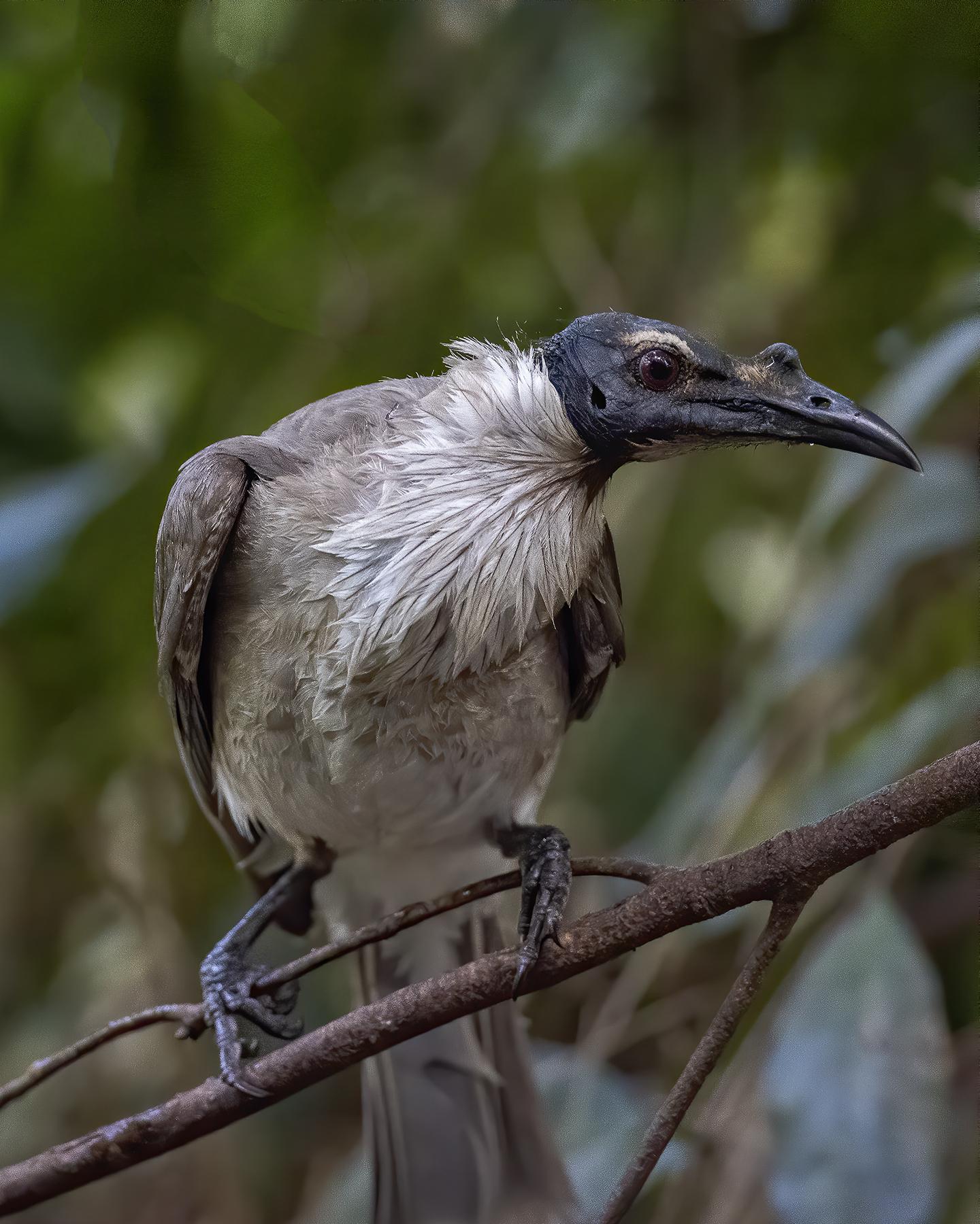 Noisy Friarbird (Image ID 43969)