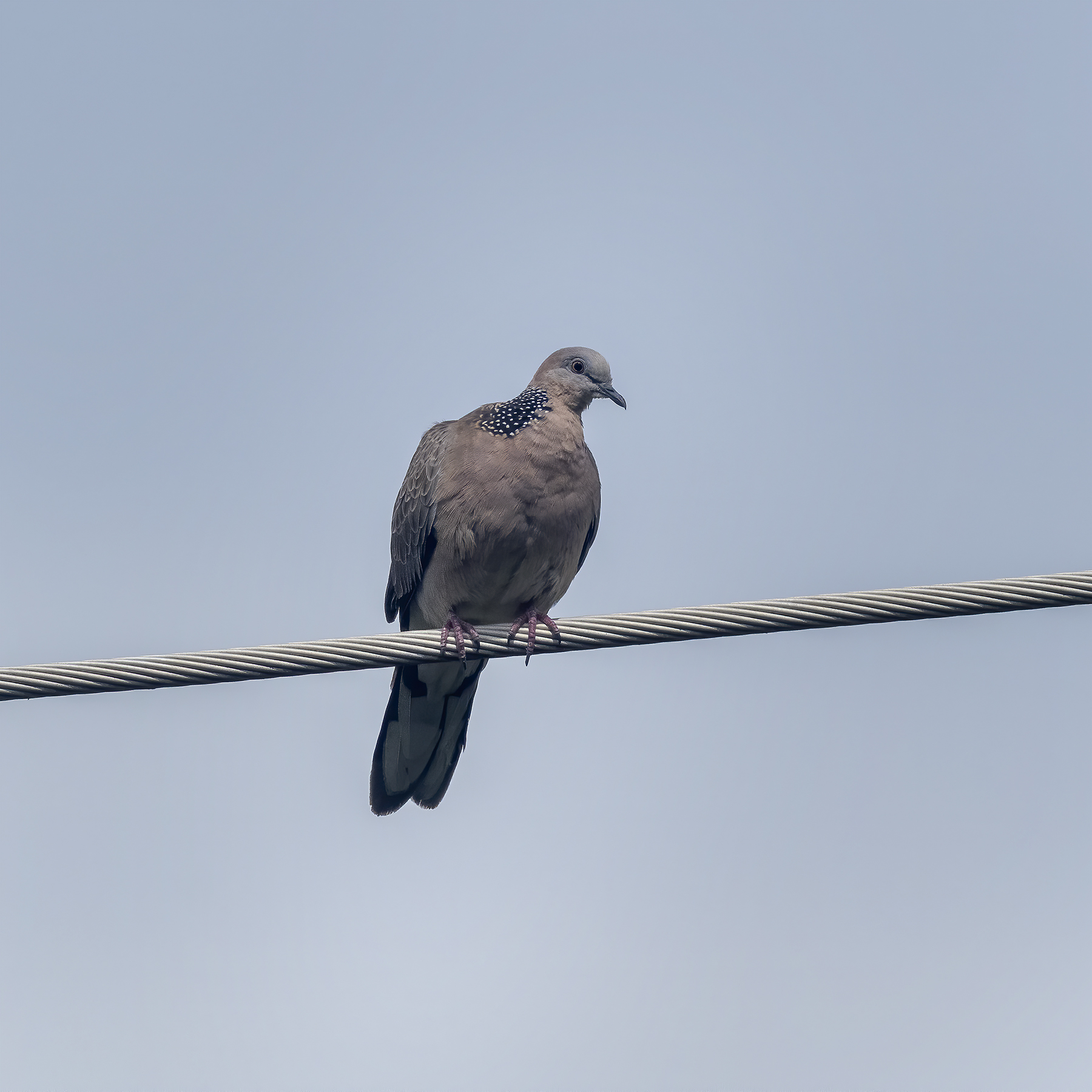 Spotted Dove (Image ID 44006)