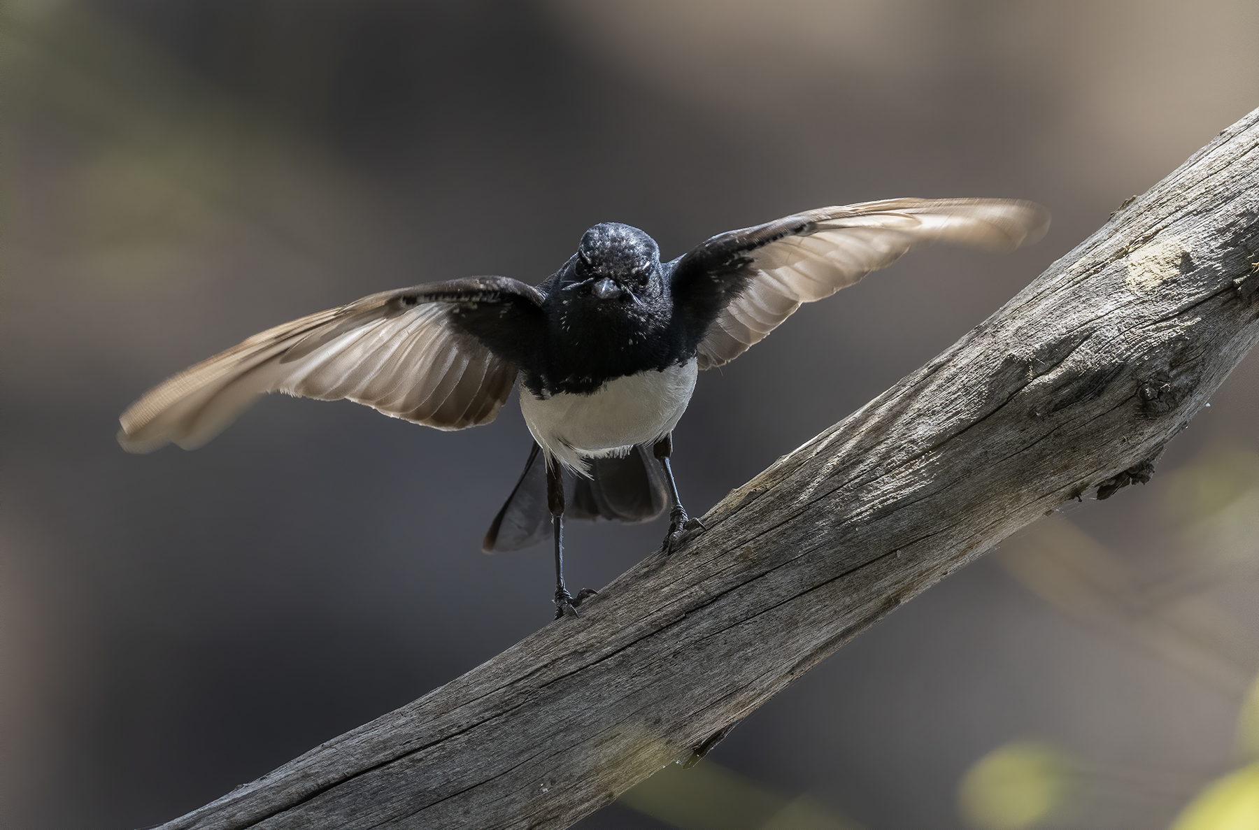 Willie Wagtail (Image ID 44007)