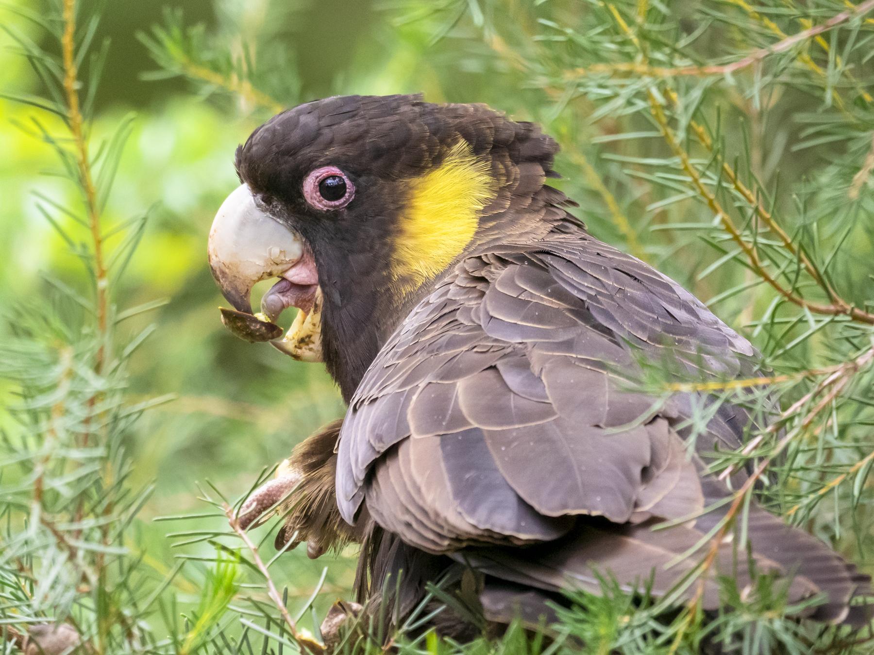 Yellow-tailed Black-Cockatoo (Image ID 43883)