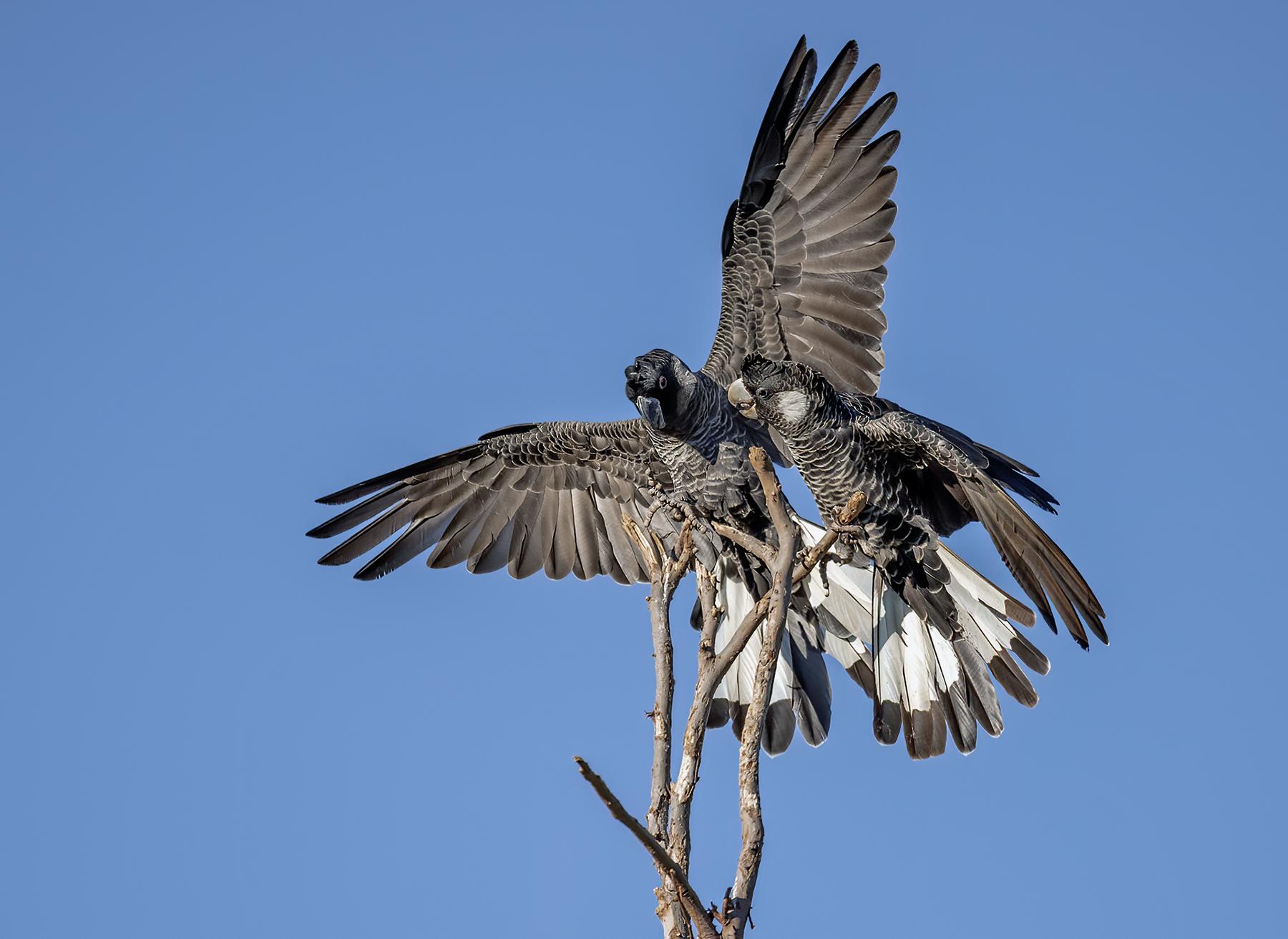 Carnaby's Black-Cockatoo (Image ID 43712)