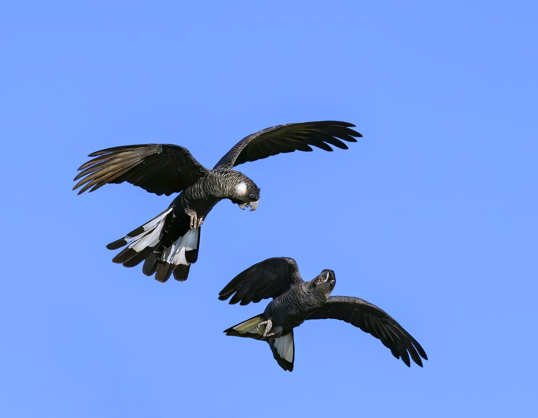 Carnaby's Black-Cockatoo (Image ID 43980)