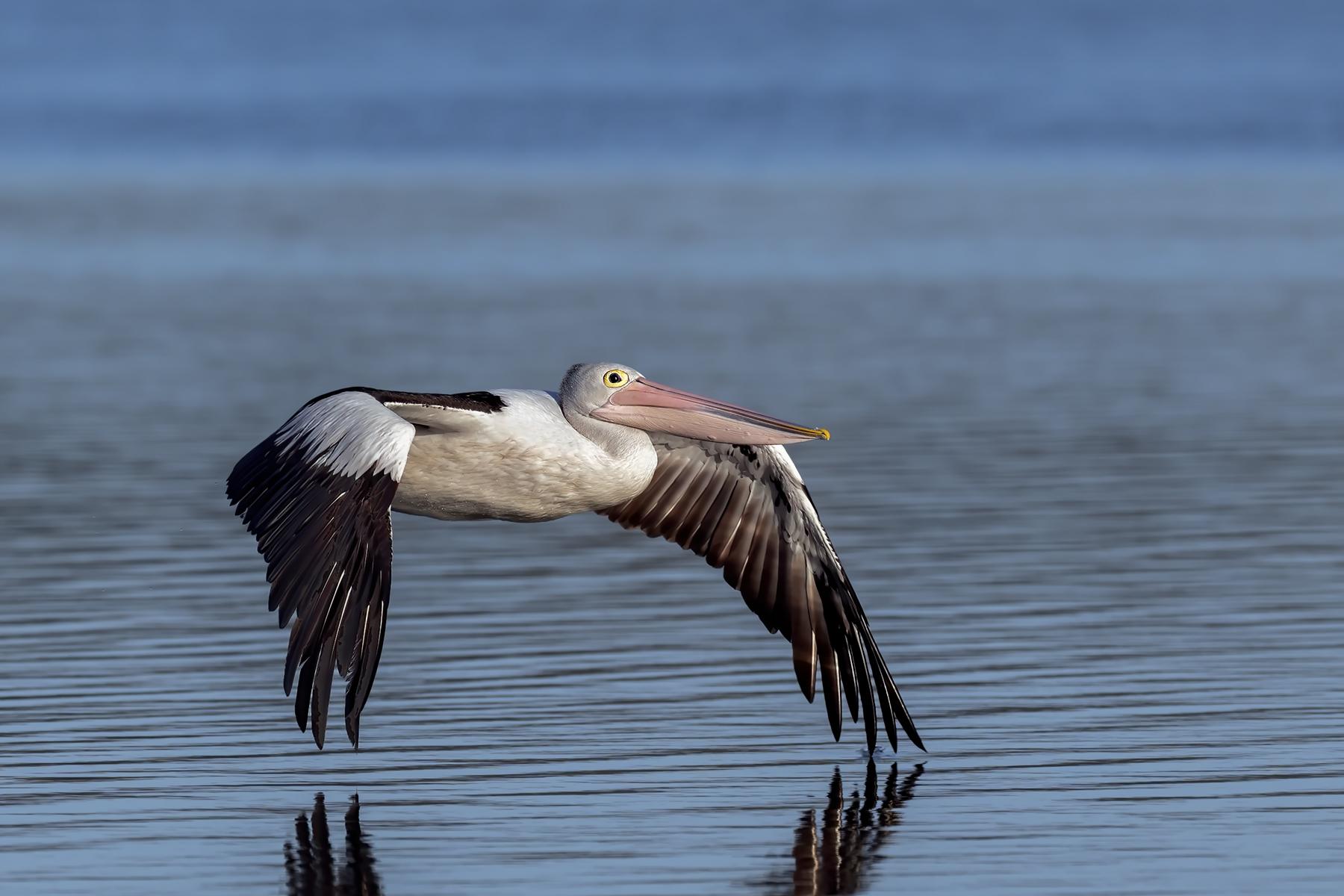 Australian Pelican (Image ID 43840)