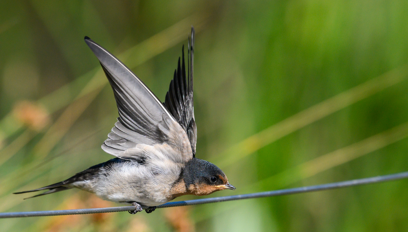 Welcome Swallow (Image ID 43992)