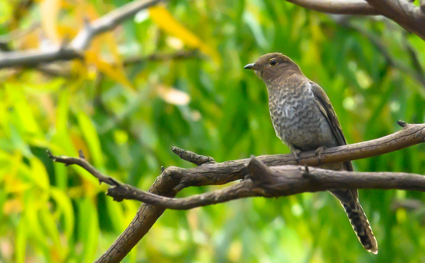 Fan-tailed Cuckoo (Image ID 43990)