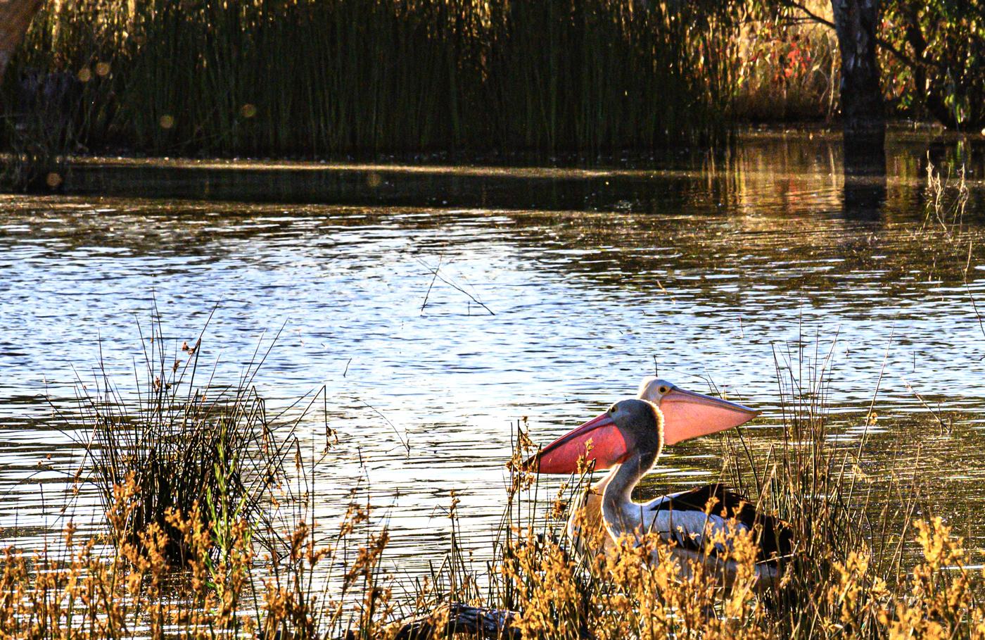 Australian Pelican (Image ID 43733)