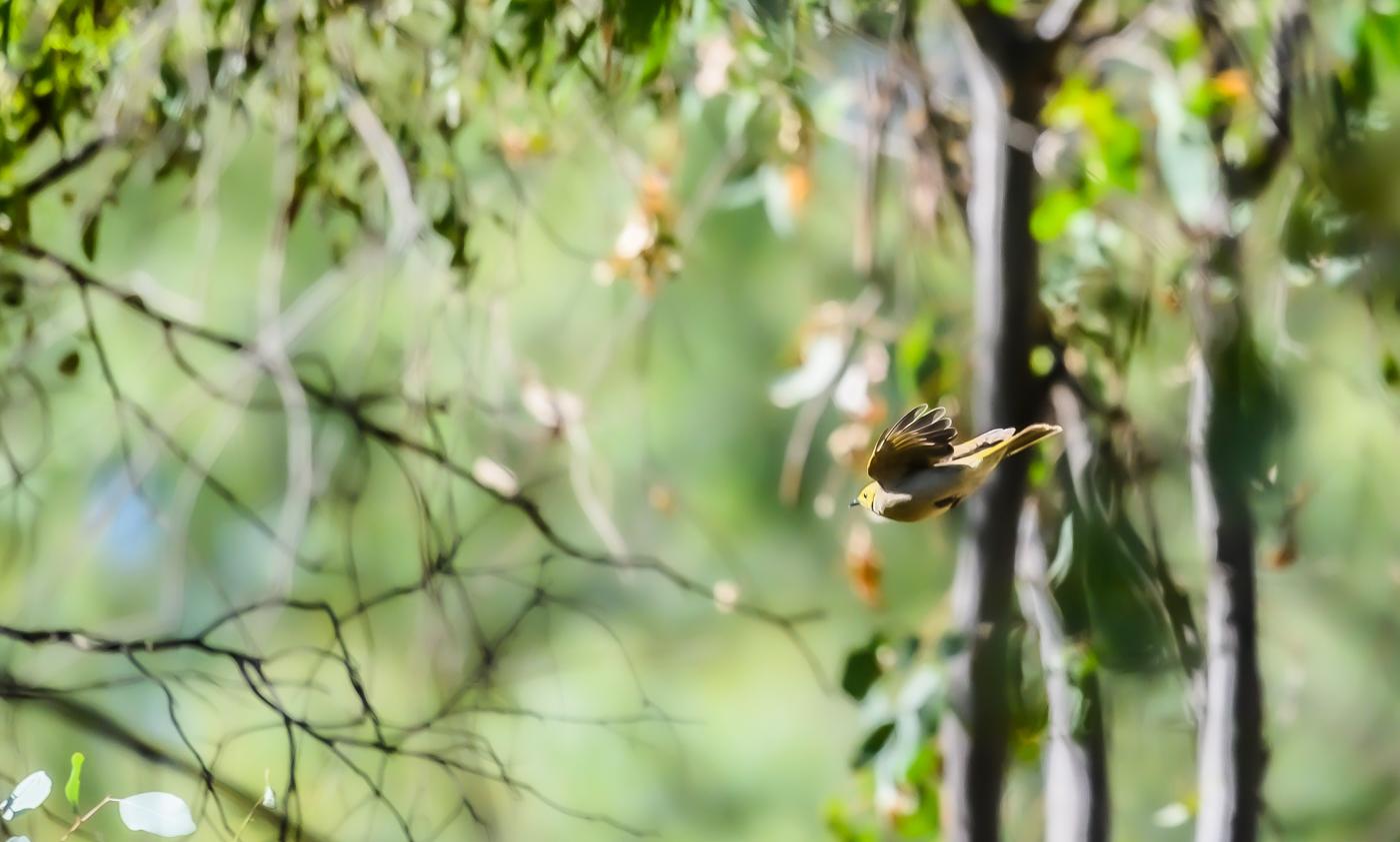 White-plumed Honeyeater (Image ID 43795)