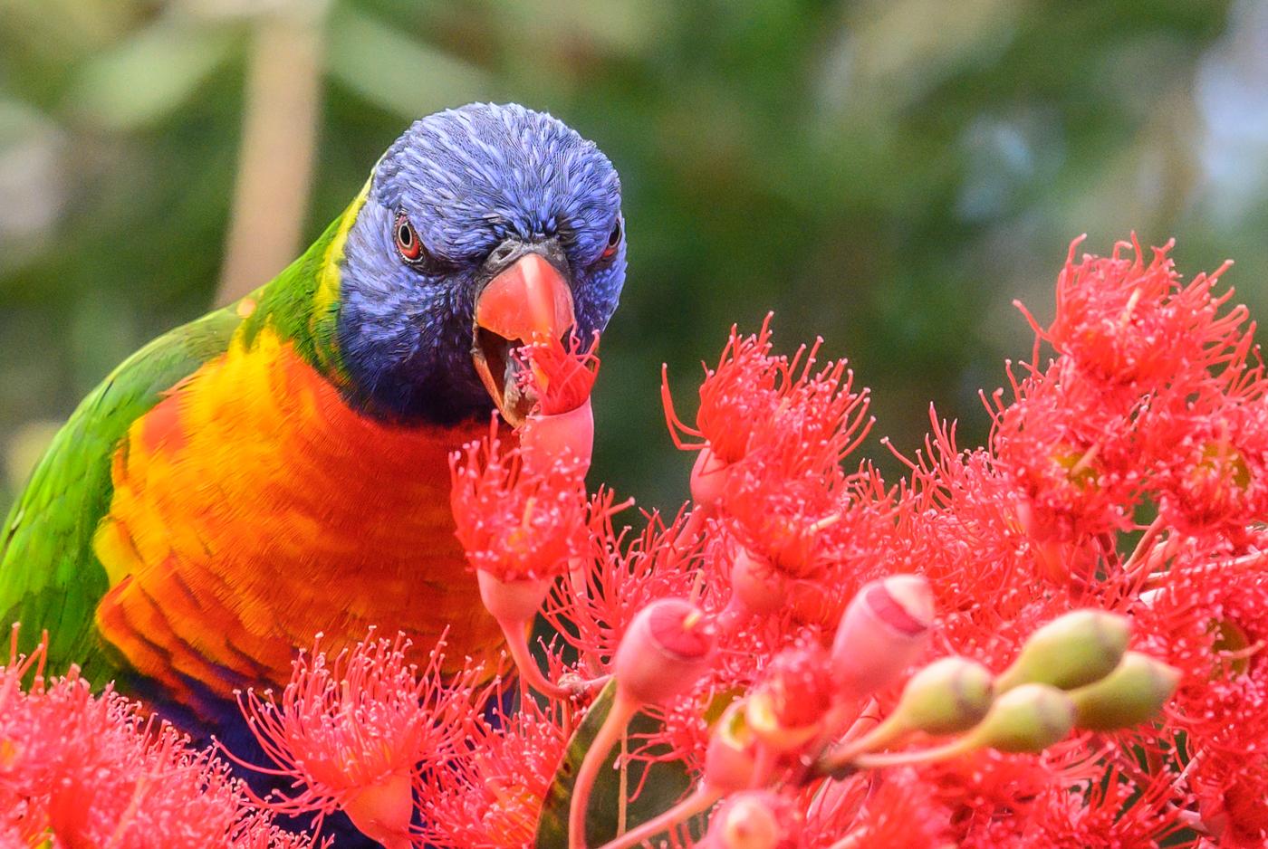 Rainbow Lorikeet (Image ID 44029)