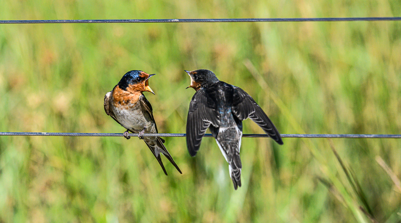 Welcome Swallow (Image ID 43995)
