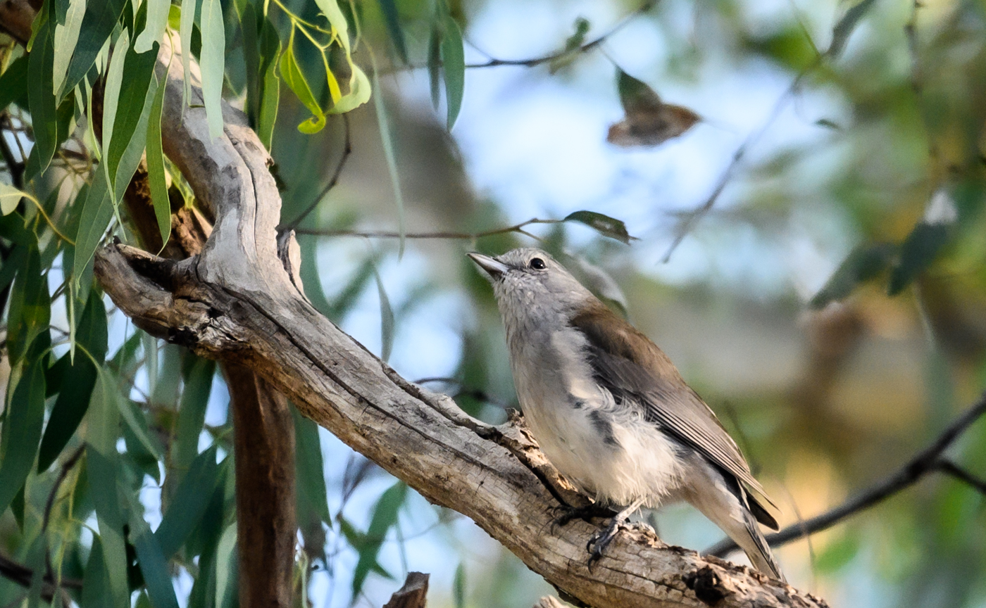 Grey Shrike-thrush (Image ID 43790)