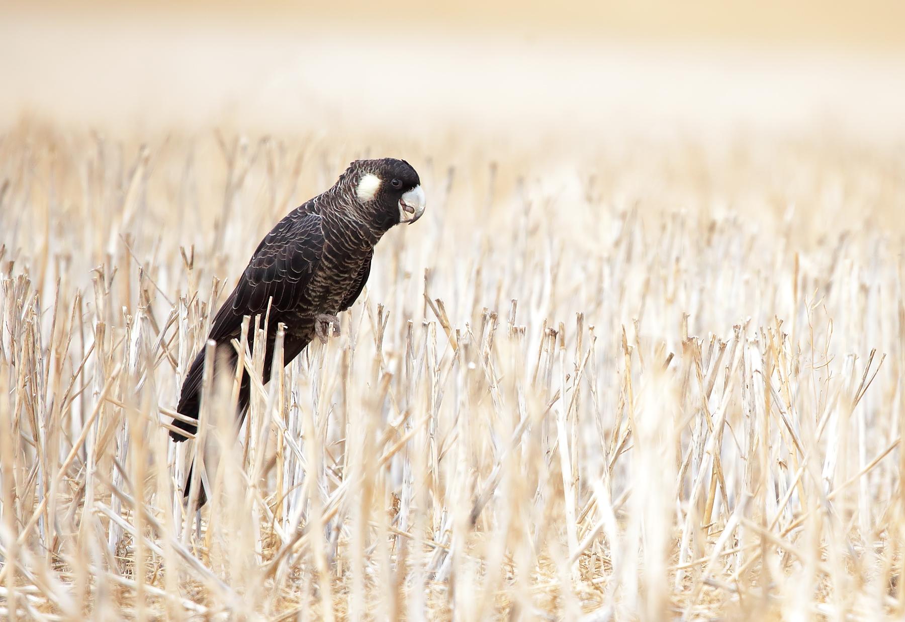 Baudin's Black-Cockatoo (Image ID 43675)