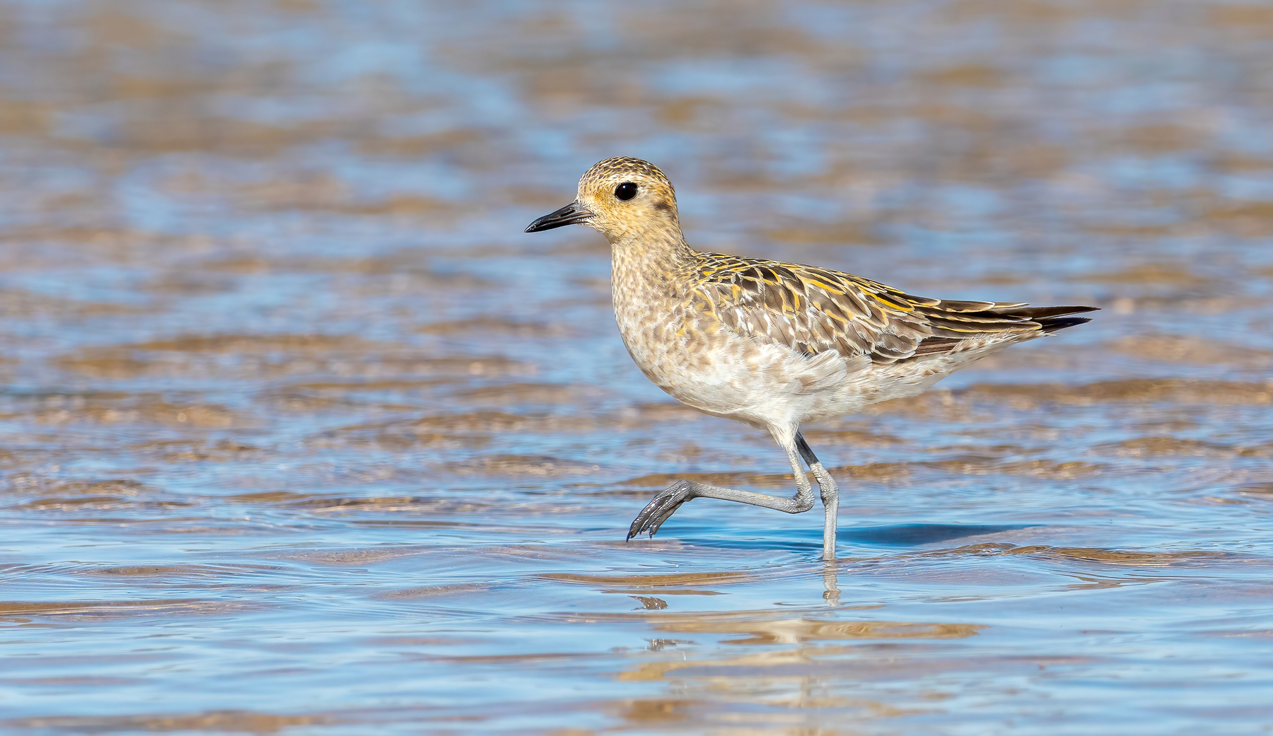 Pacific Golden Plover (Image ID 43678)
