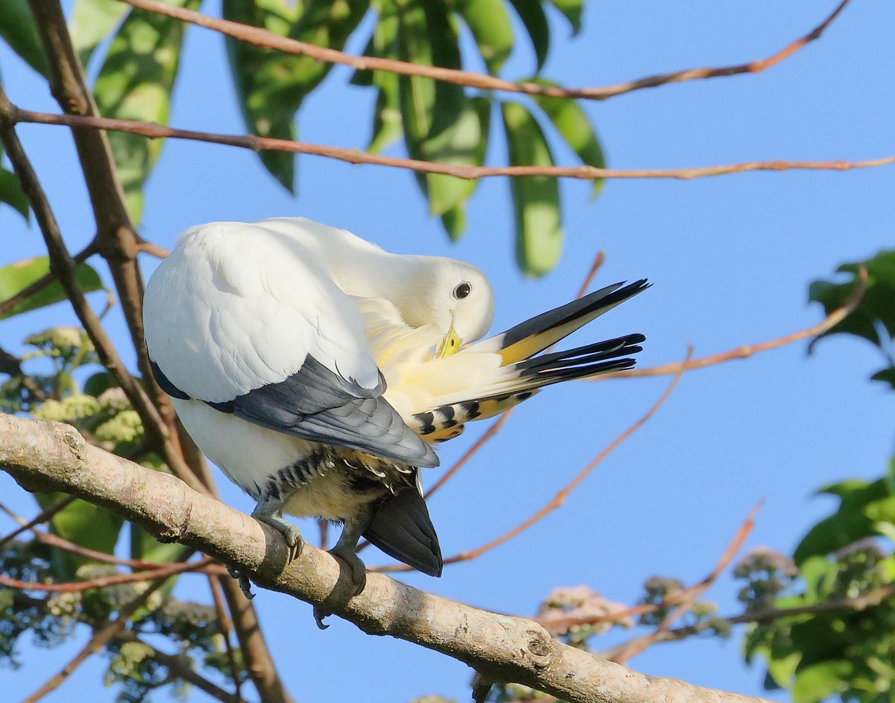 Torresian Imperial-Pigeon (Image ID 43781)