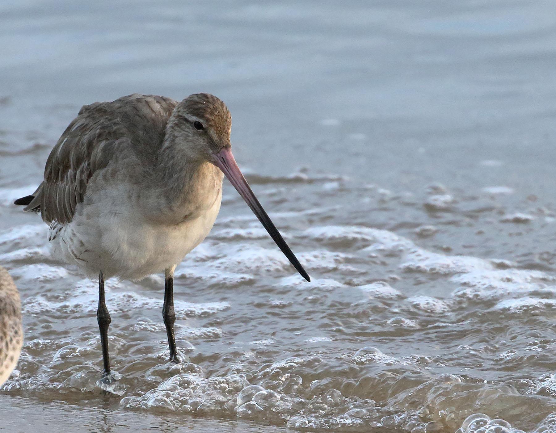 Bar-tailed Godwit (Image ID 43848)
