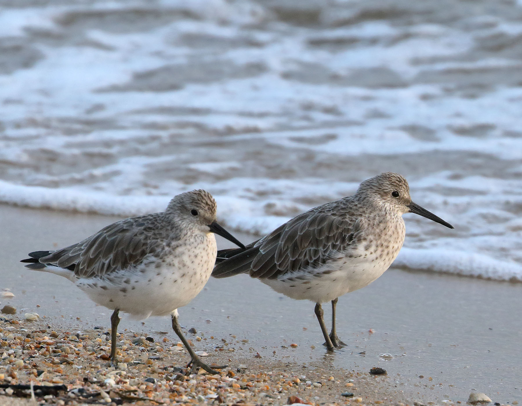 Great Knot (Image ID 43849)