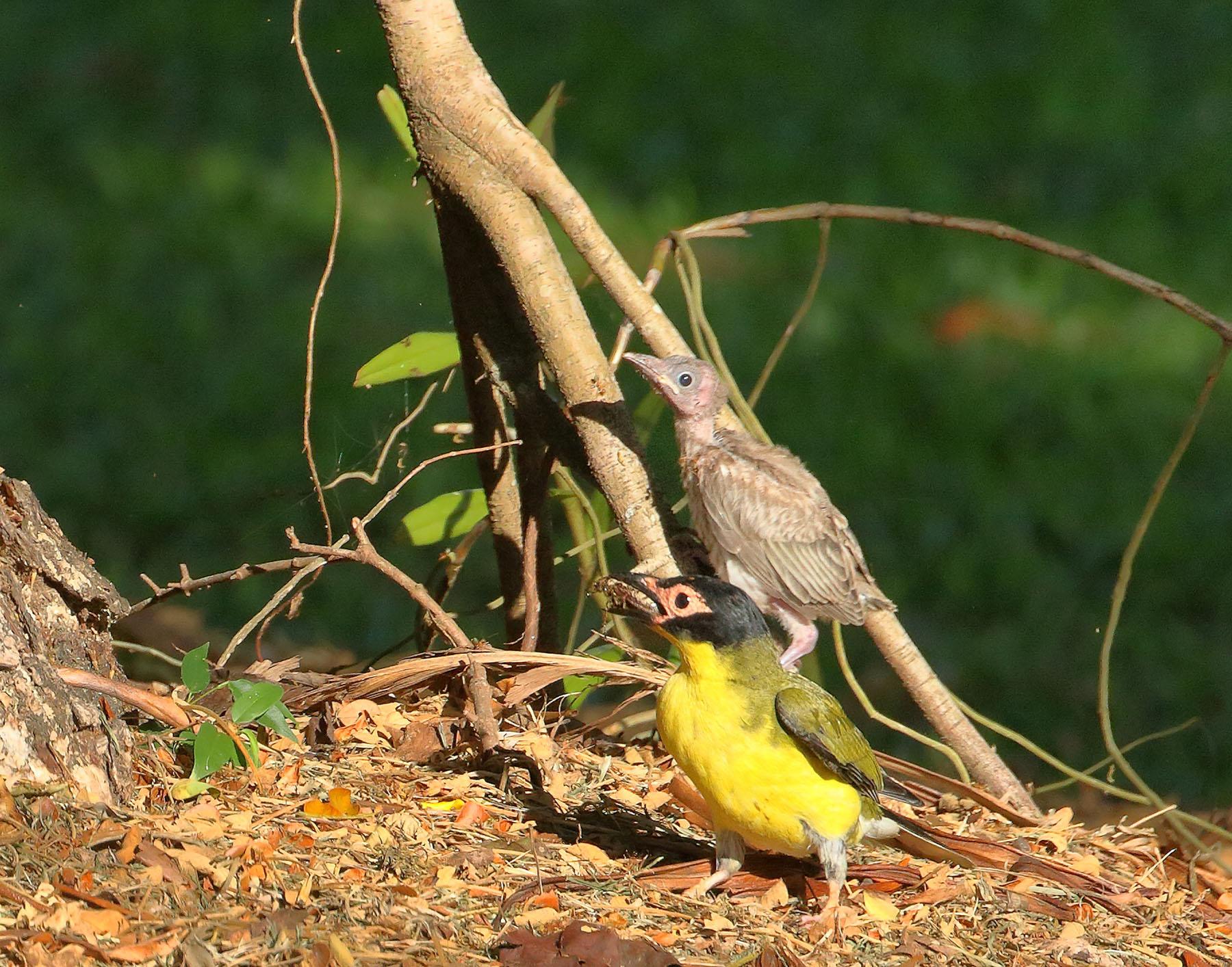 Australasian Figbird (Image ID 43782)