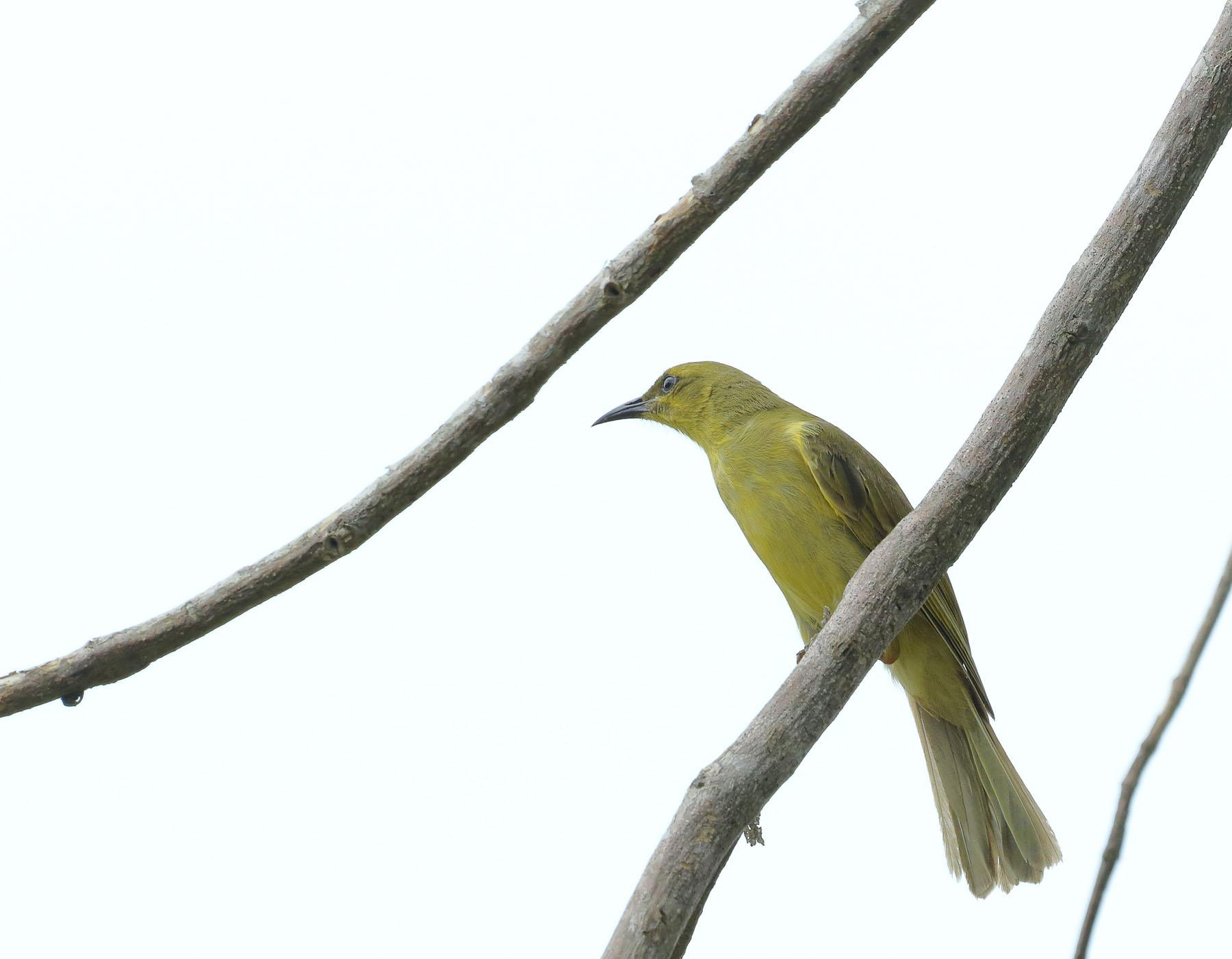 Yellow Honeyeater (Image ID 44052)