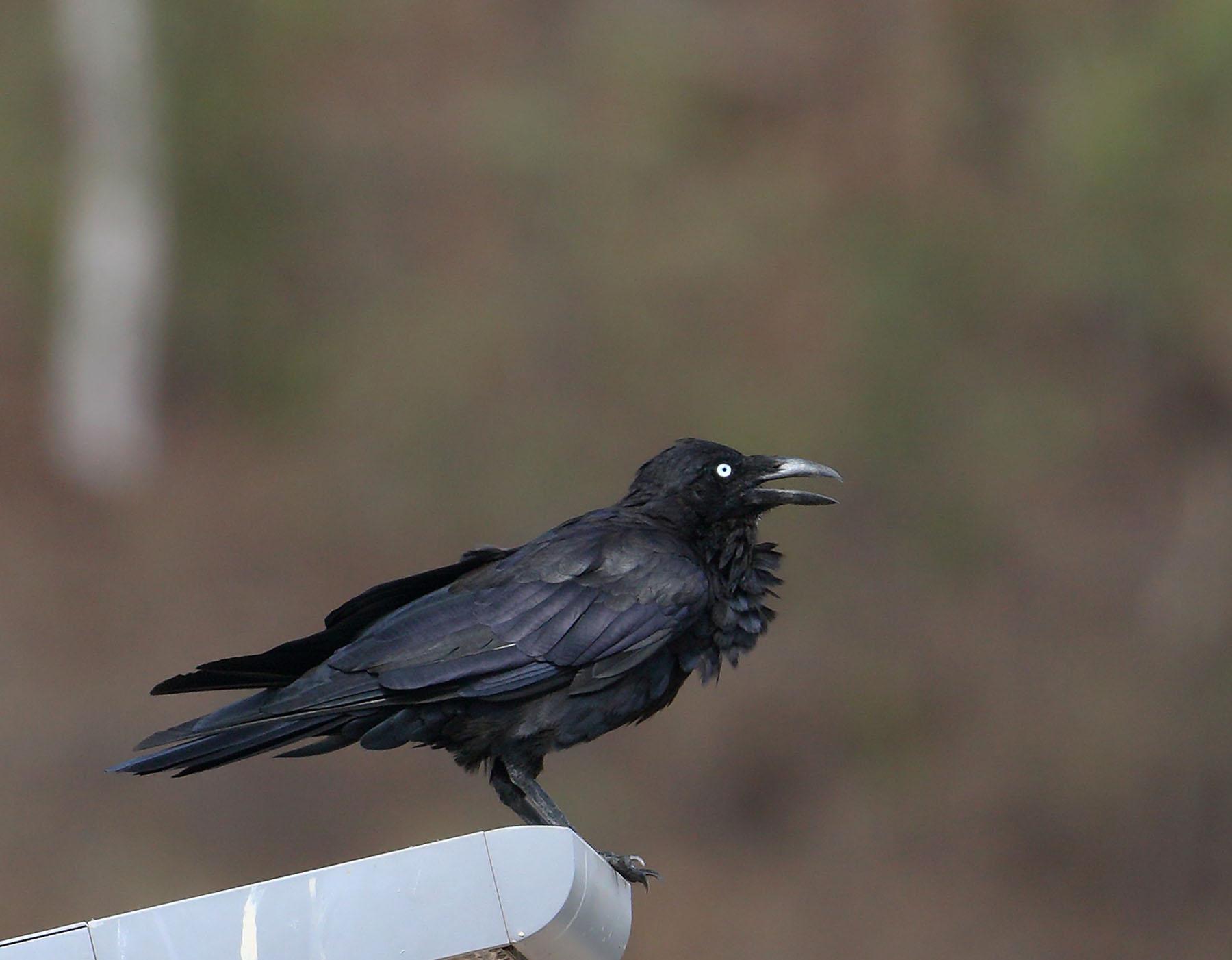 Australian Raven (Image ID 44051)