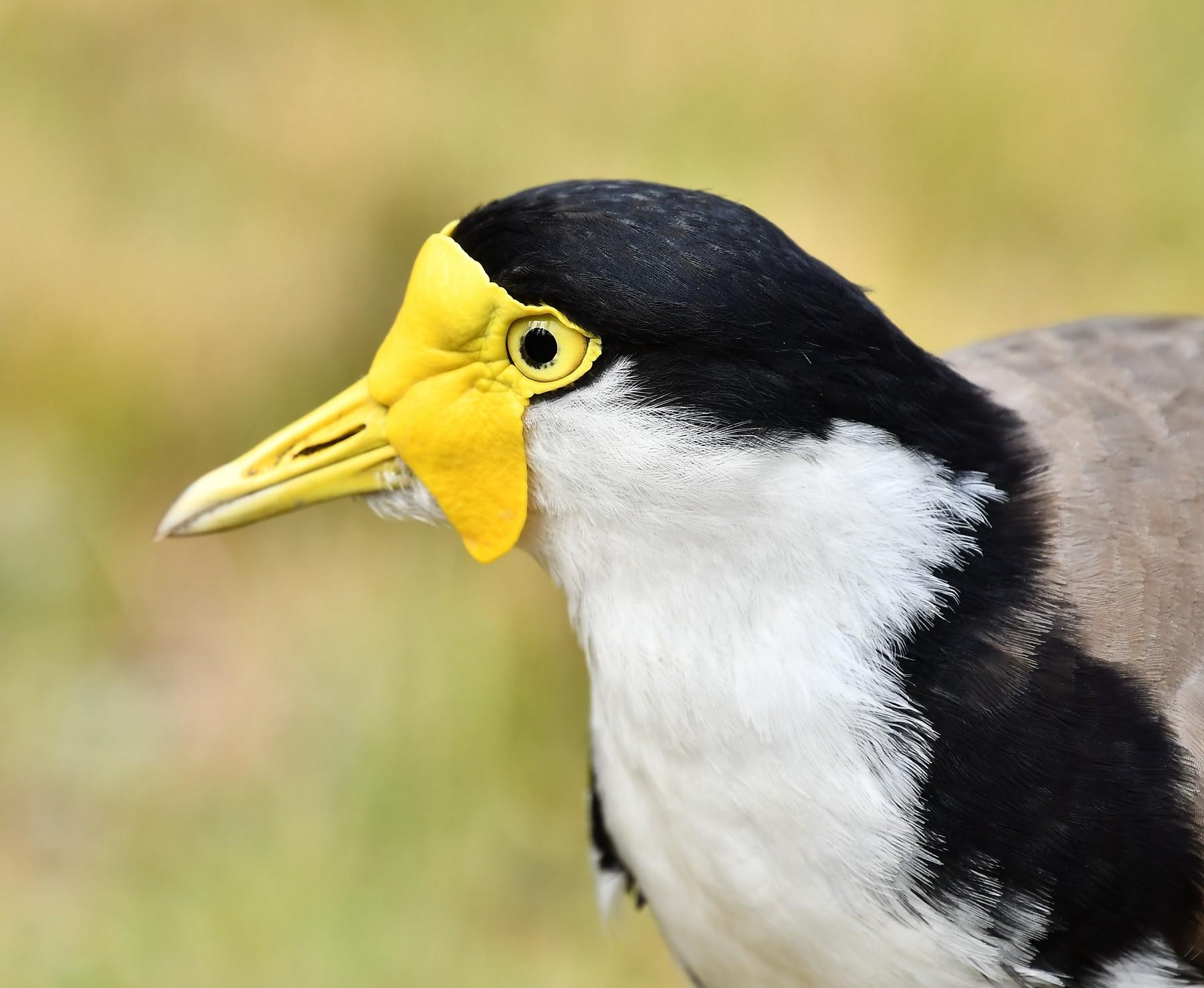 Masked Lapwing (Image ID 43830)