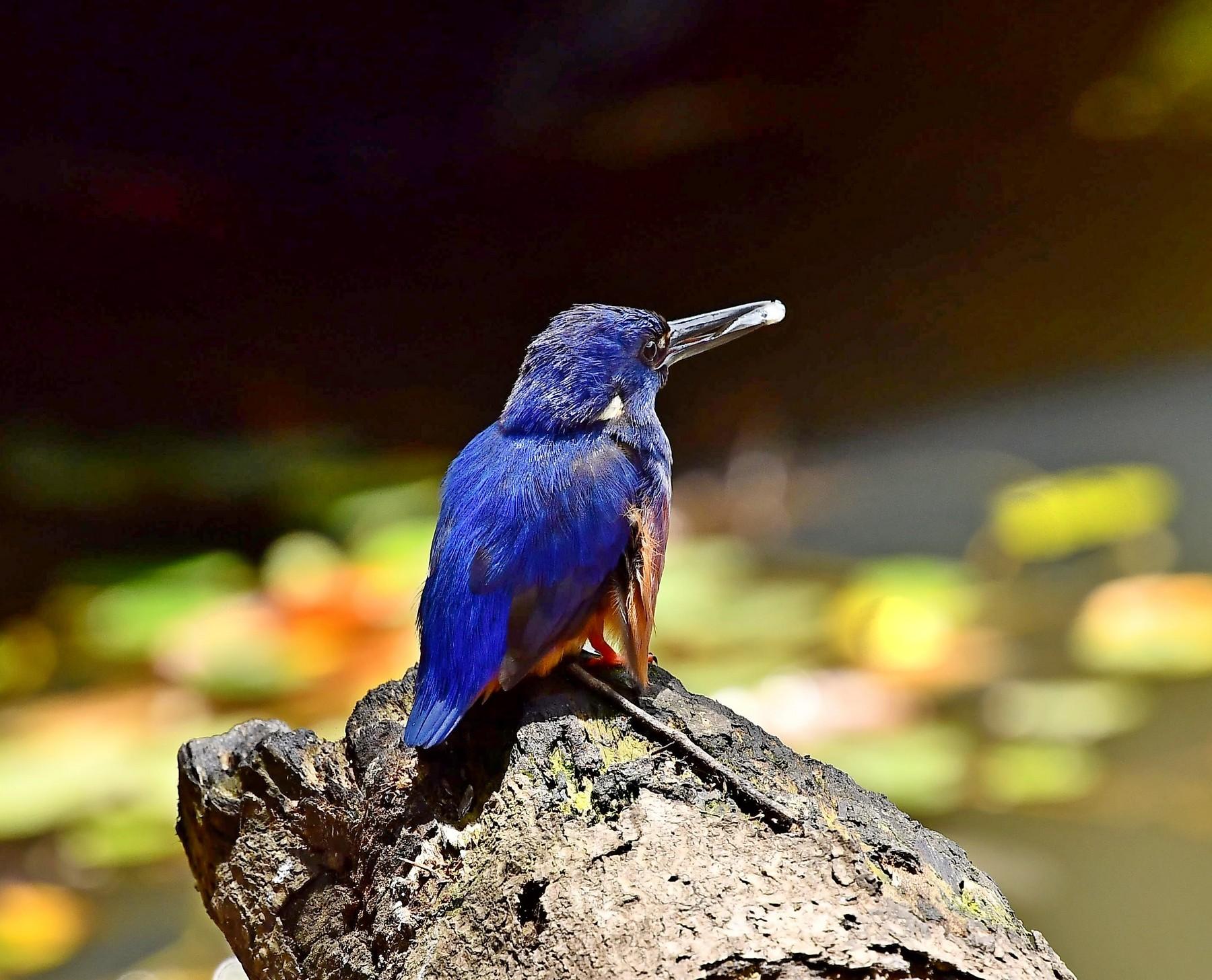 Azure Kingfisher (Image ID 43688)