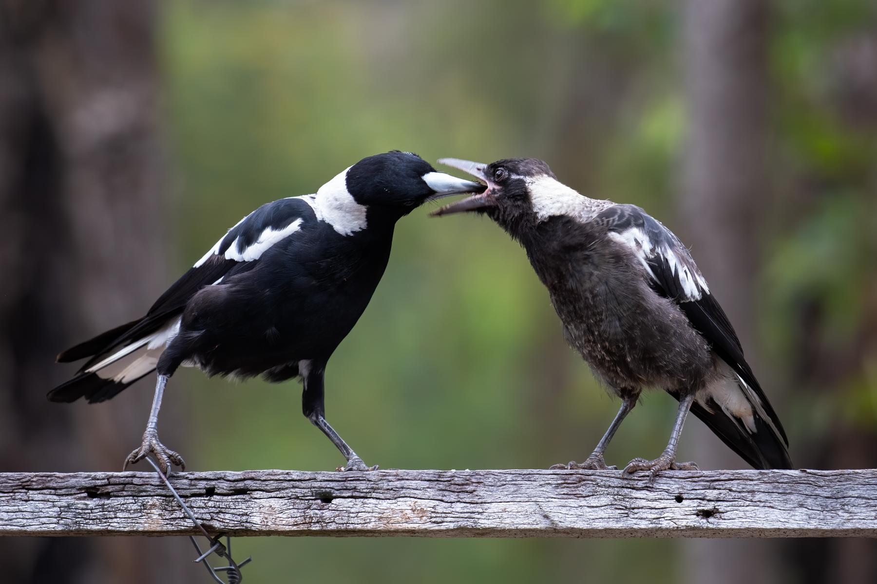 Australian Magpie (Image ID 43763)