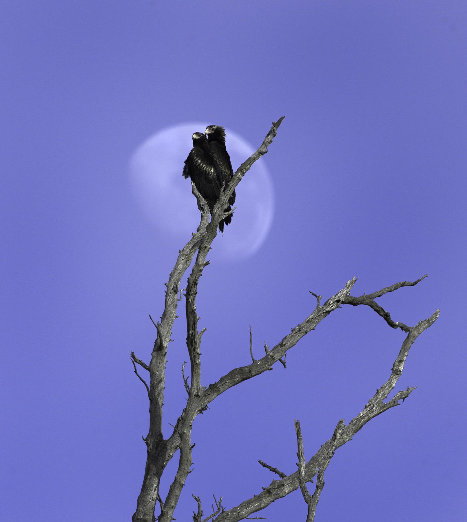 Wedge-tailed Eagle (Image ID 43730)