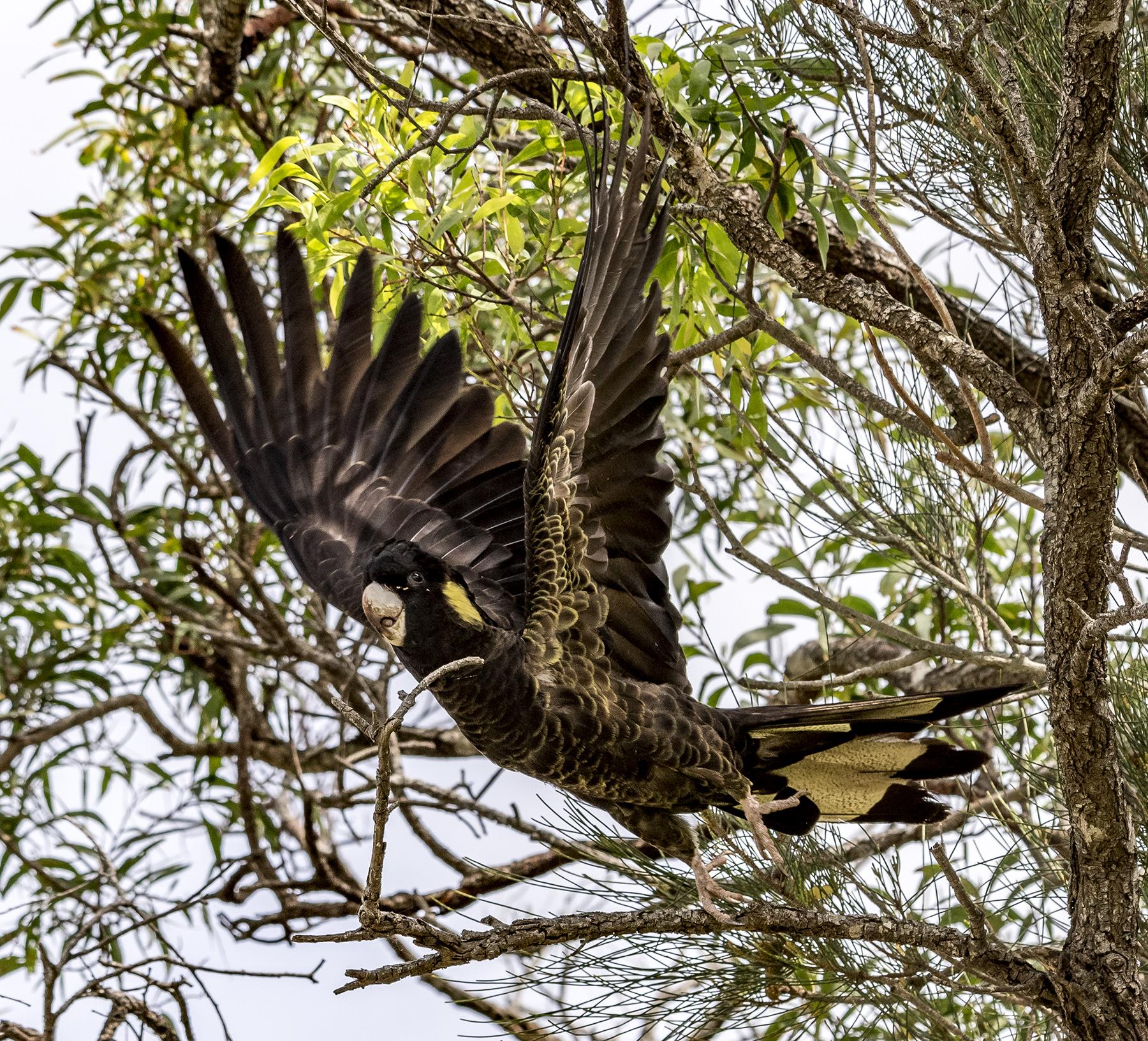 Yellow-tailed Black-Cockatoo (Image ID 43976)