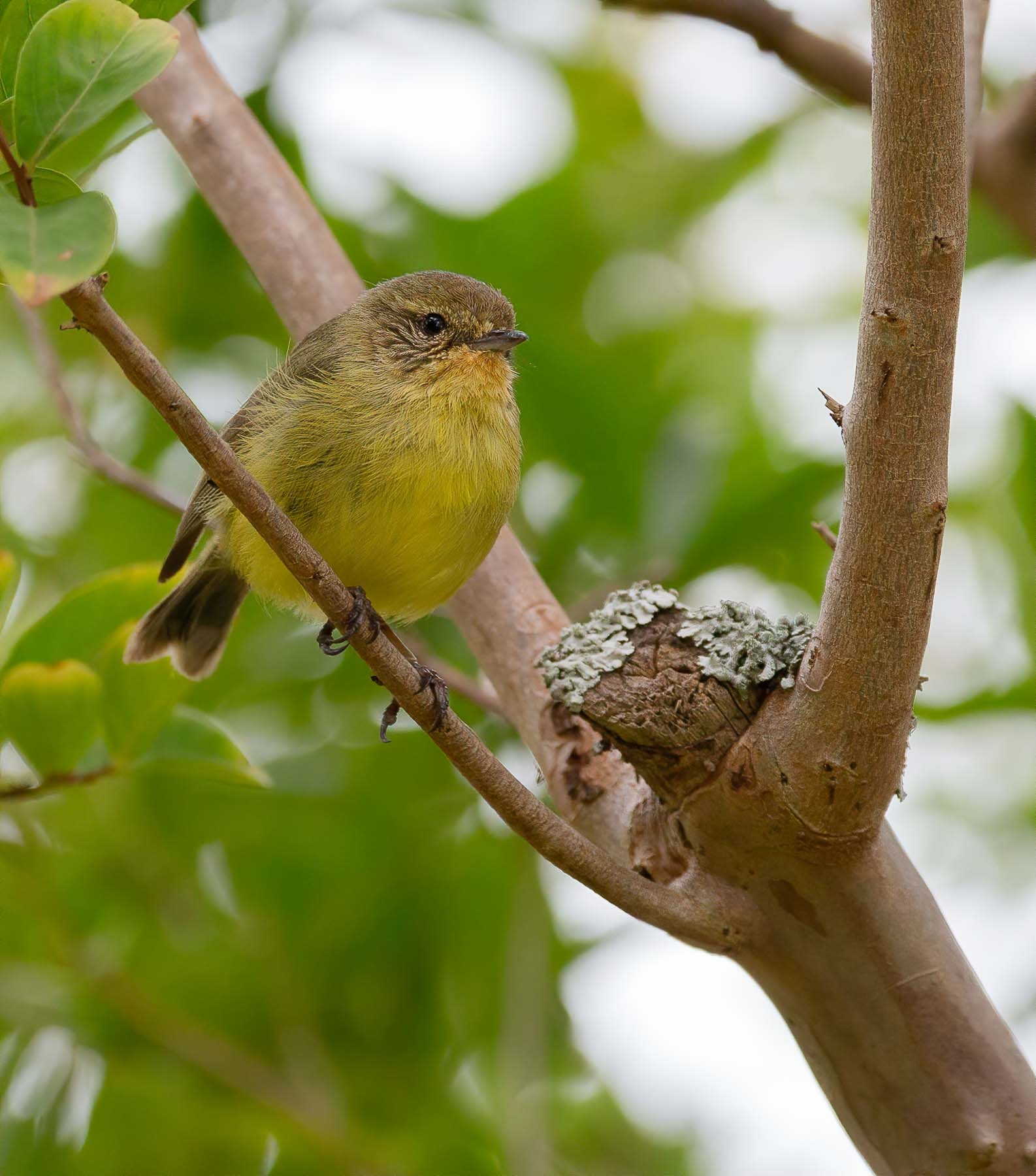Yellow Thornbill (Image ID 43860)