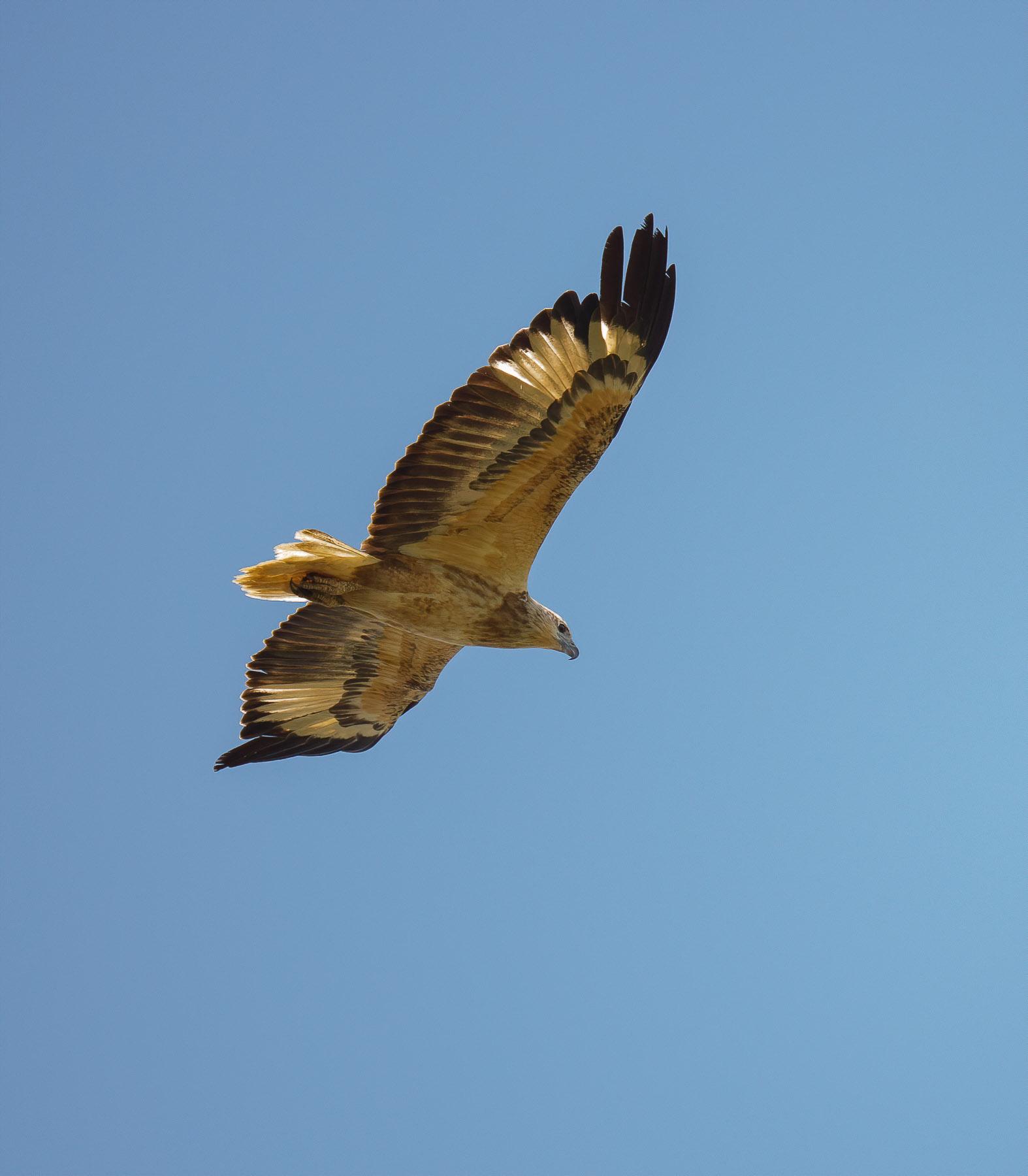 White-bellied Sea-Eagle (Image ID 43778)