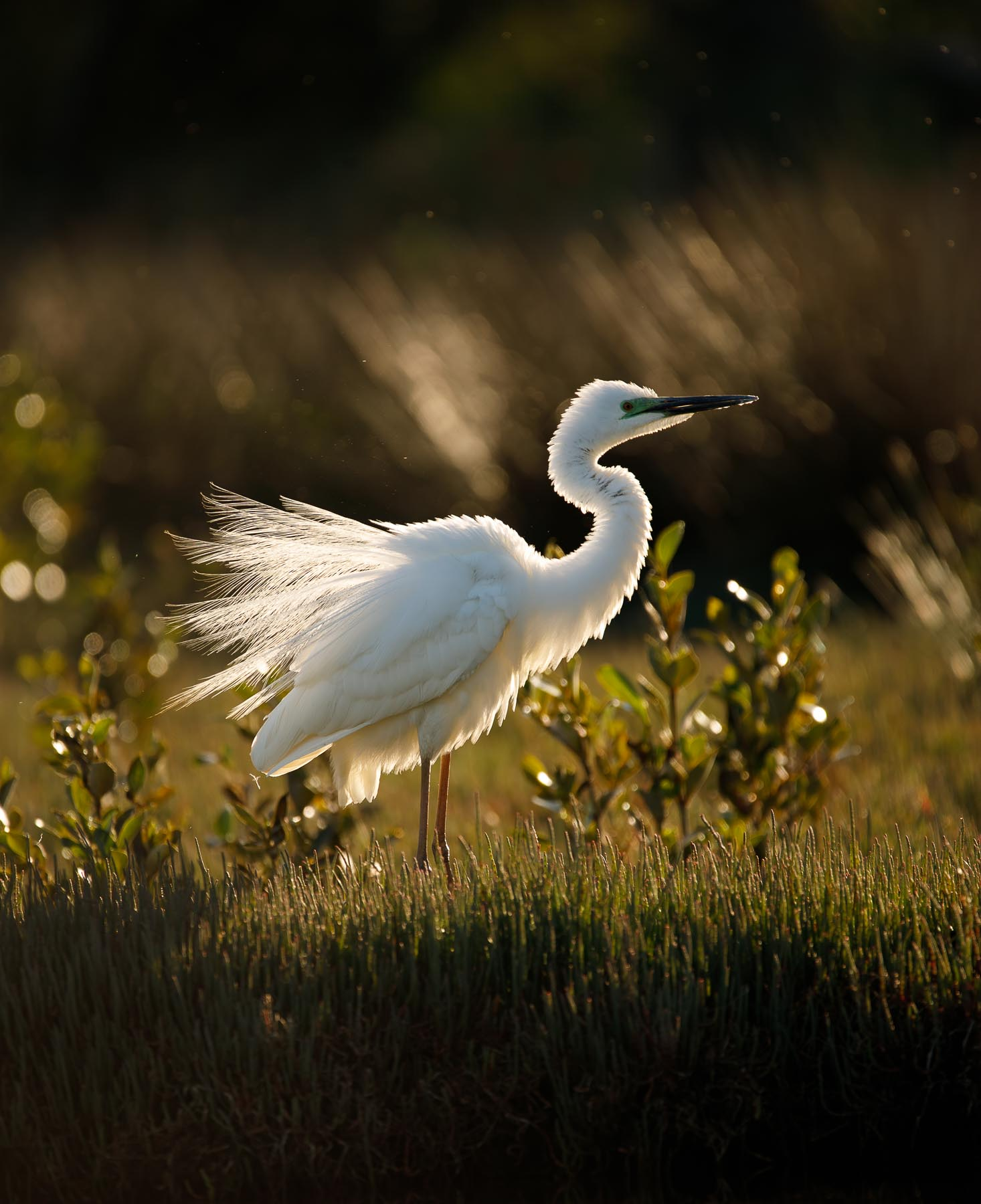 Great Egret (Image ID 43764)