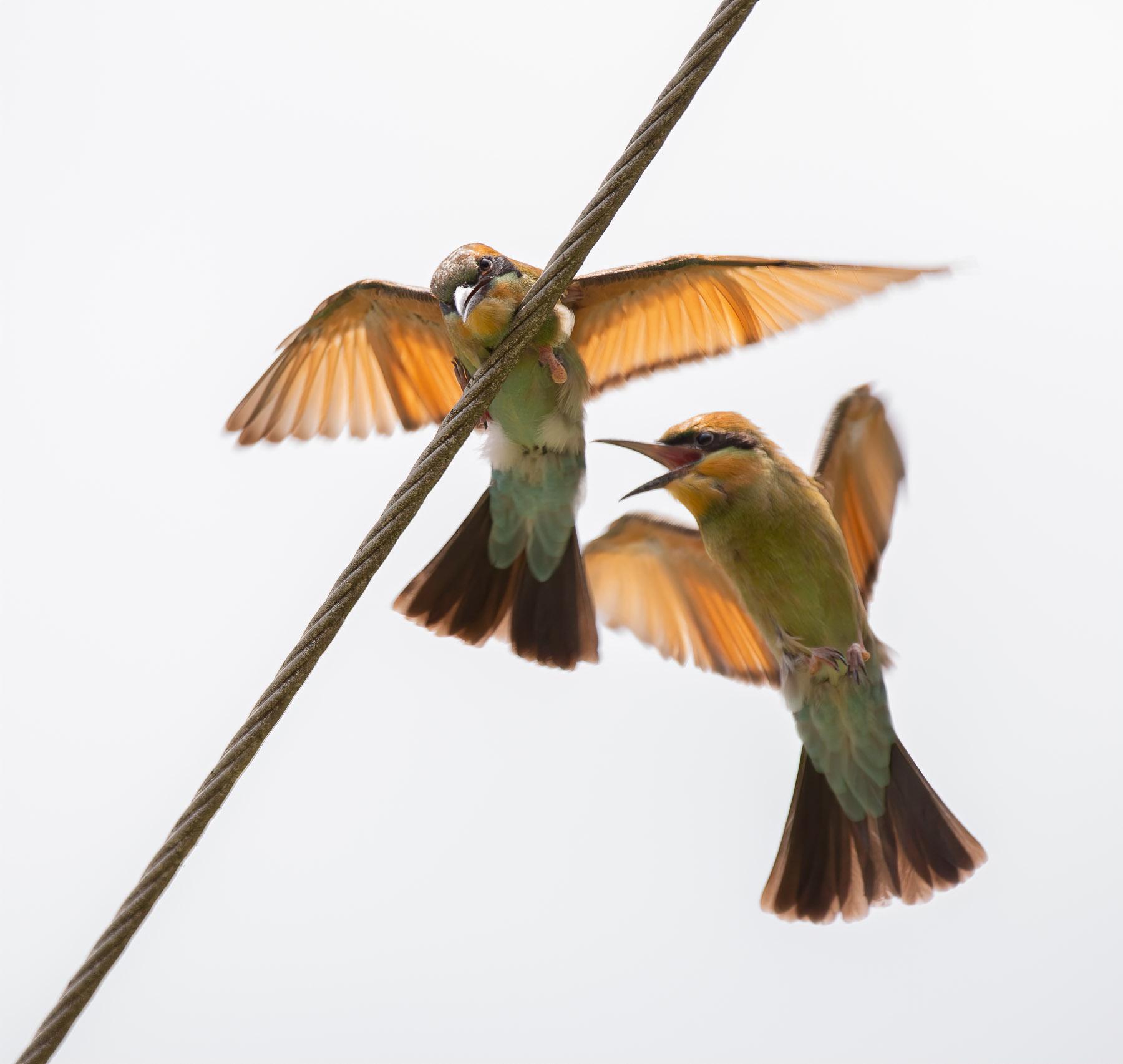 Rainbow Bee-eater (Image ID 43857)