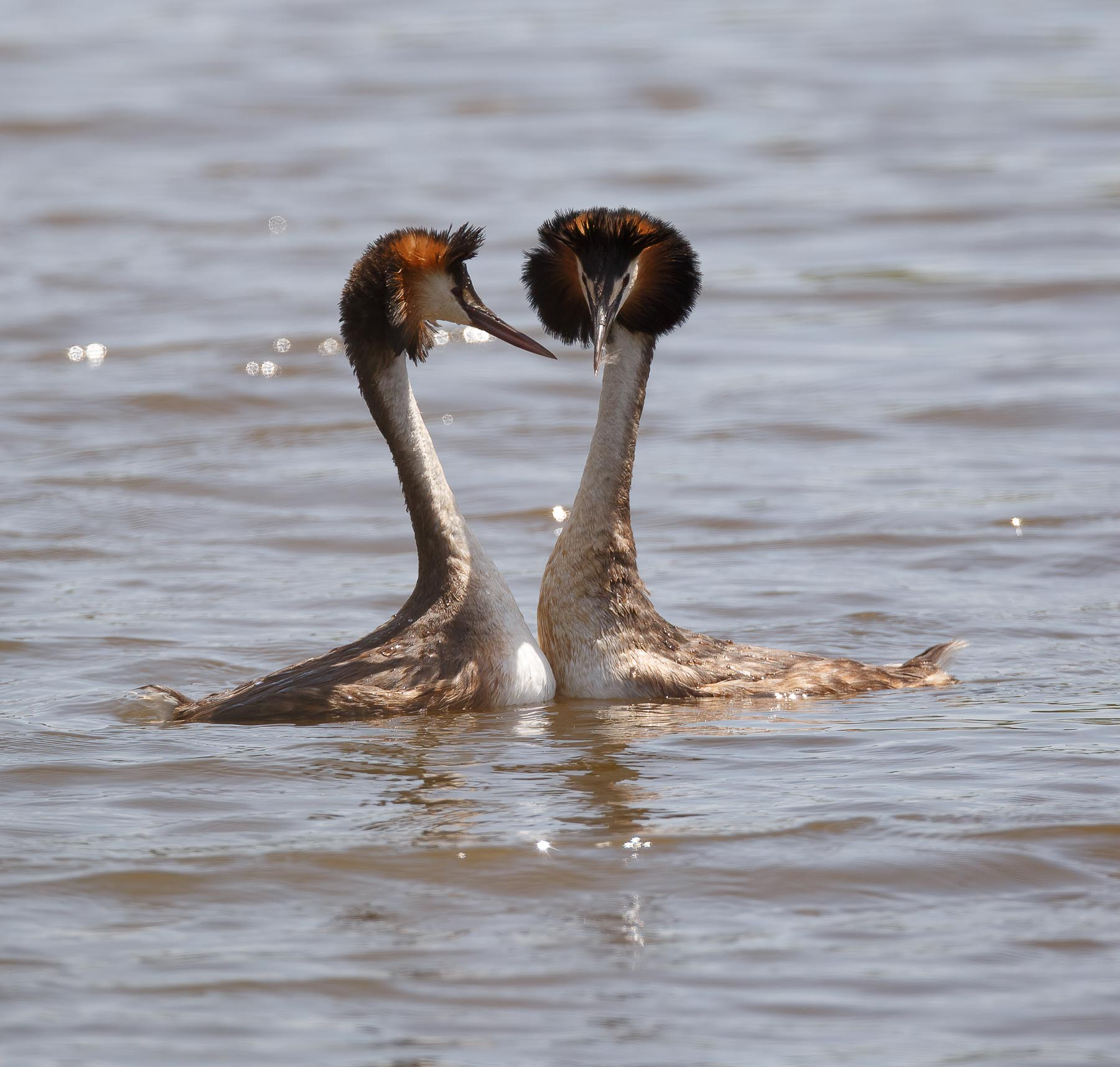 Great Crested Grebe (Image ID 43774)