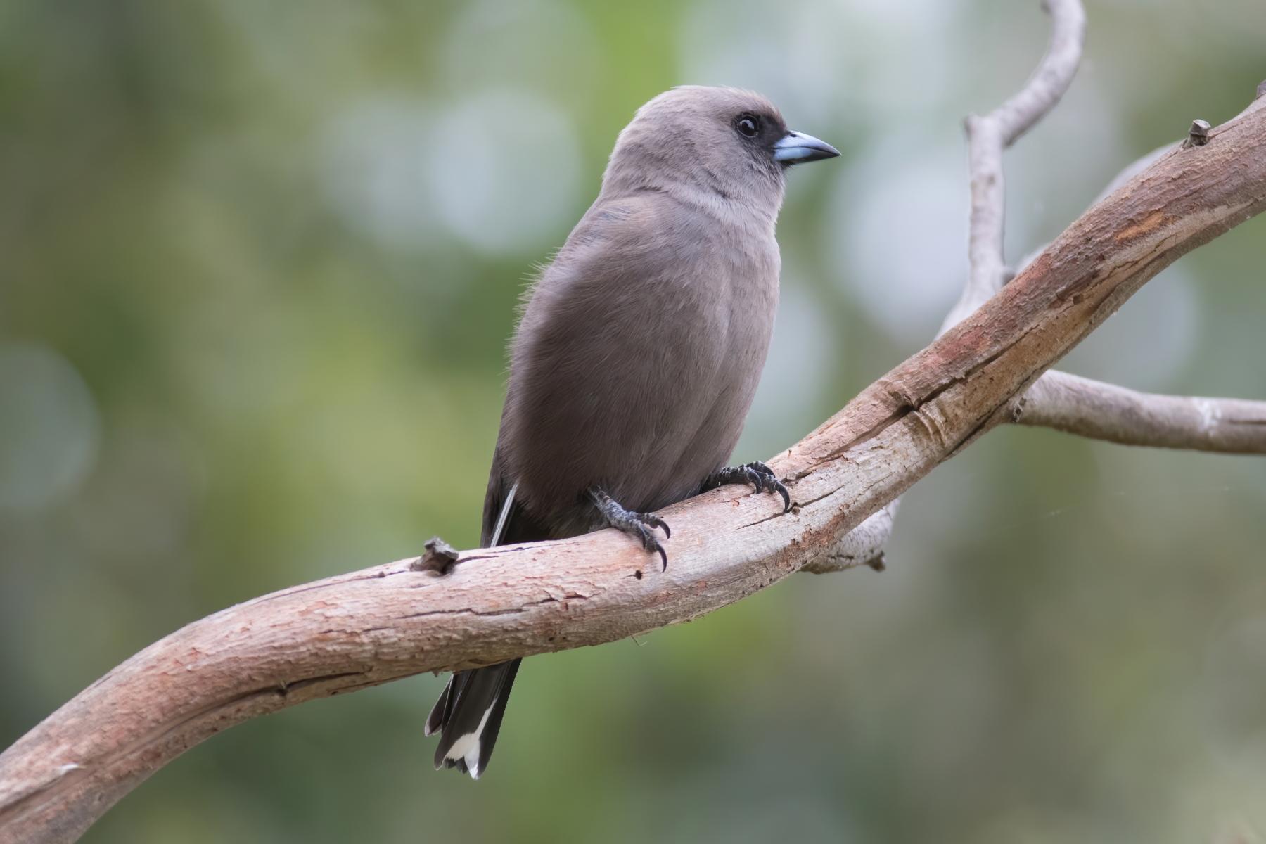 Dusky Woodswallow (Image ID 44049)