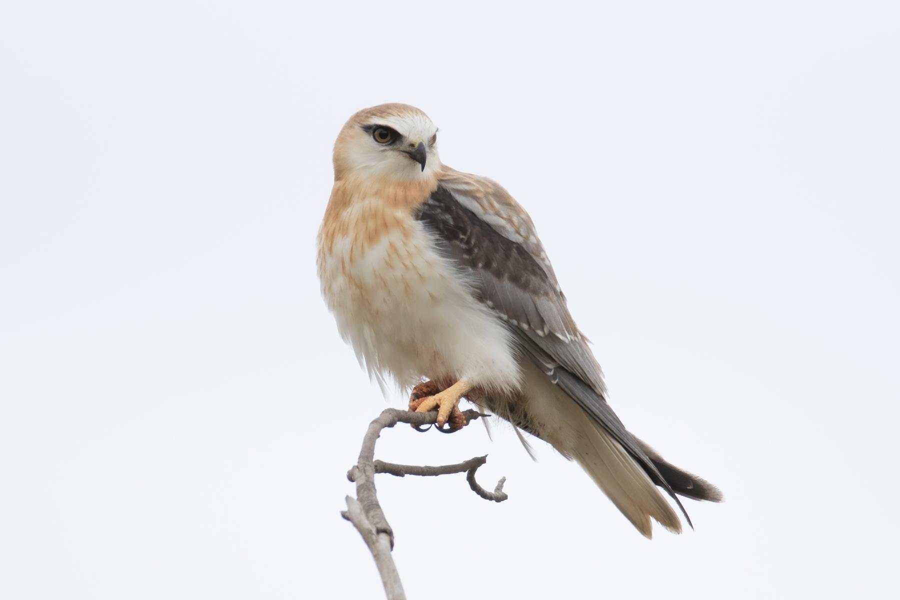 Black-shouldered Kite (Image ID 43686)