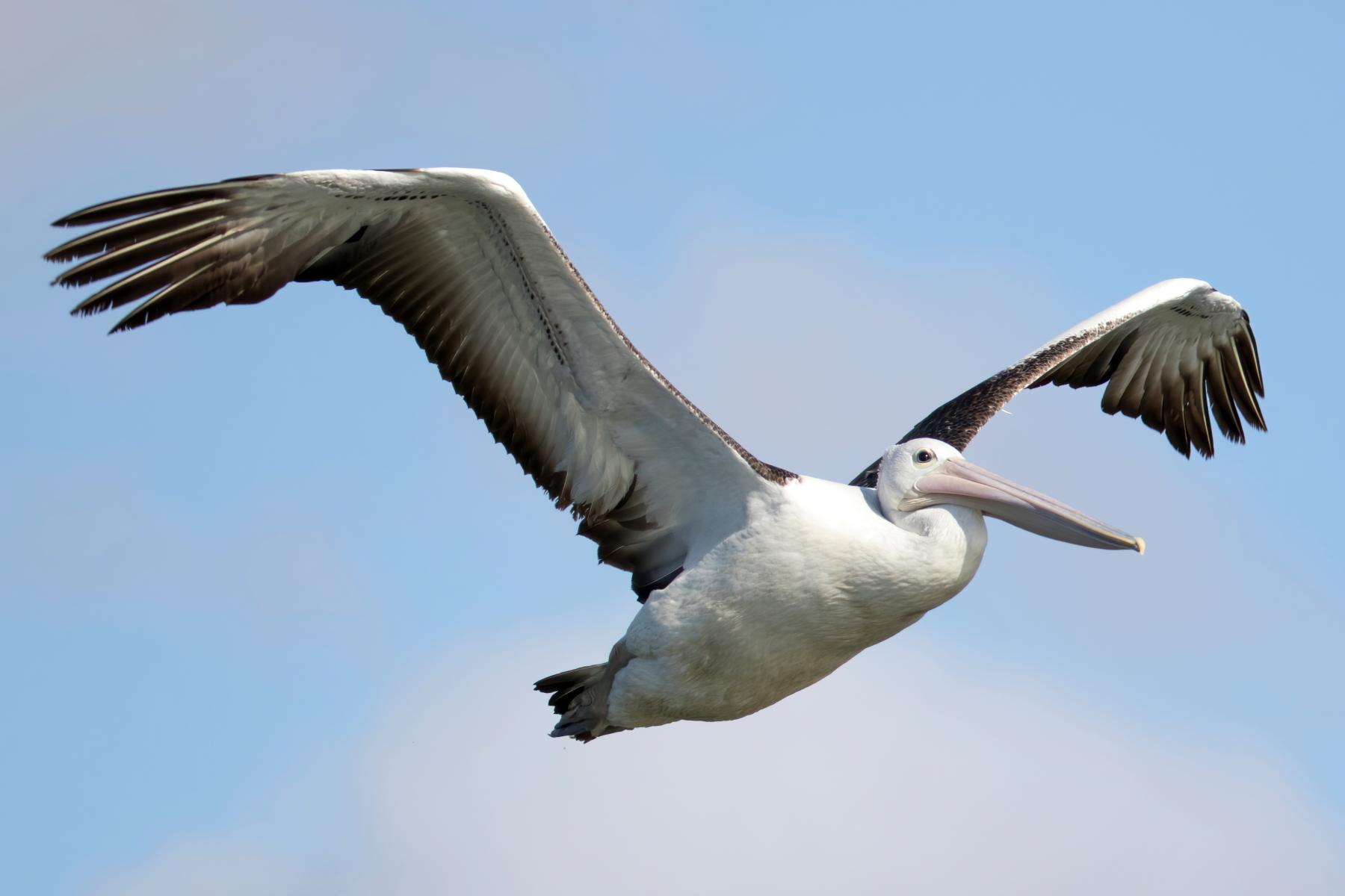 Australian Pelican (Image ID 43843)