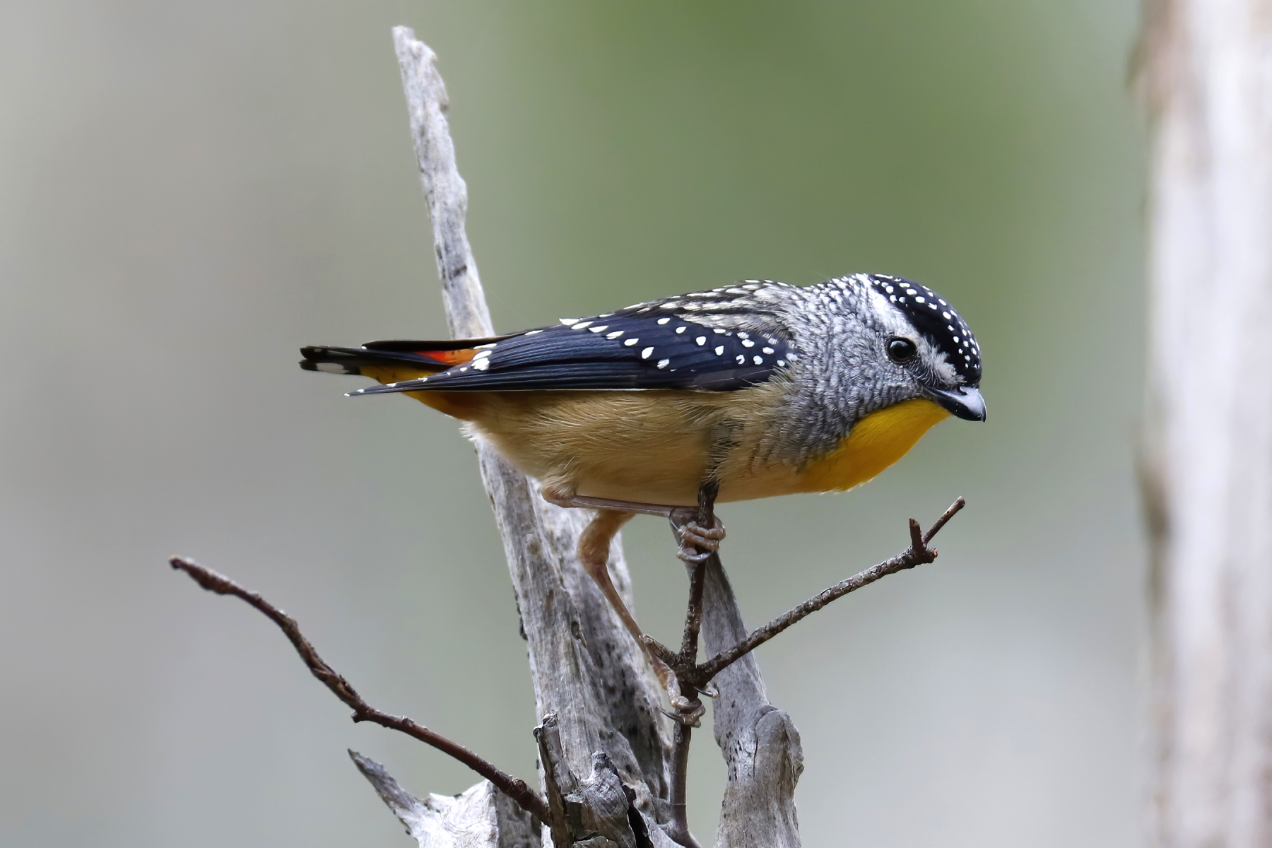 Spotted Pardalote (Image ID 43770)