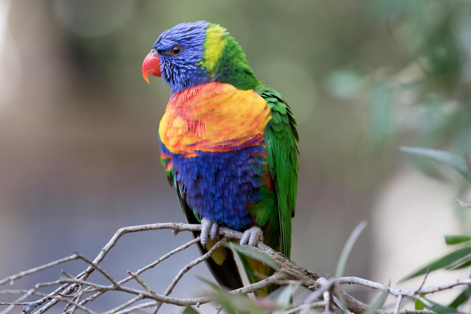 Rainbow Lorikeet (Image ID 44003)