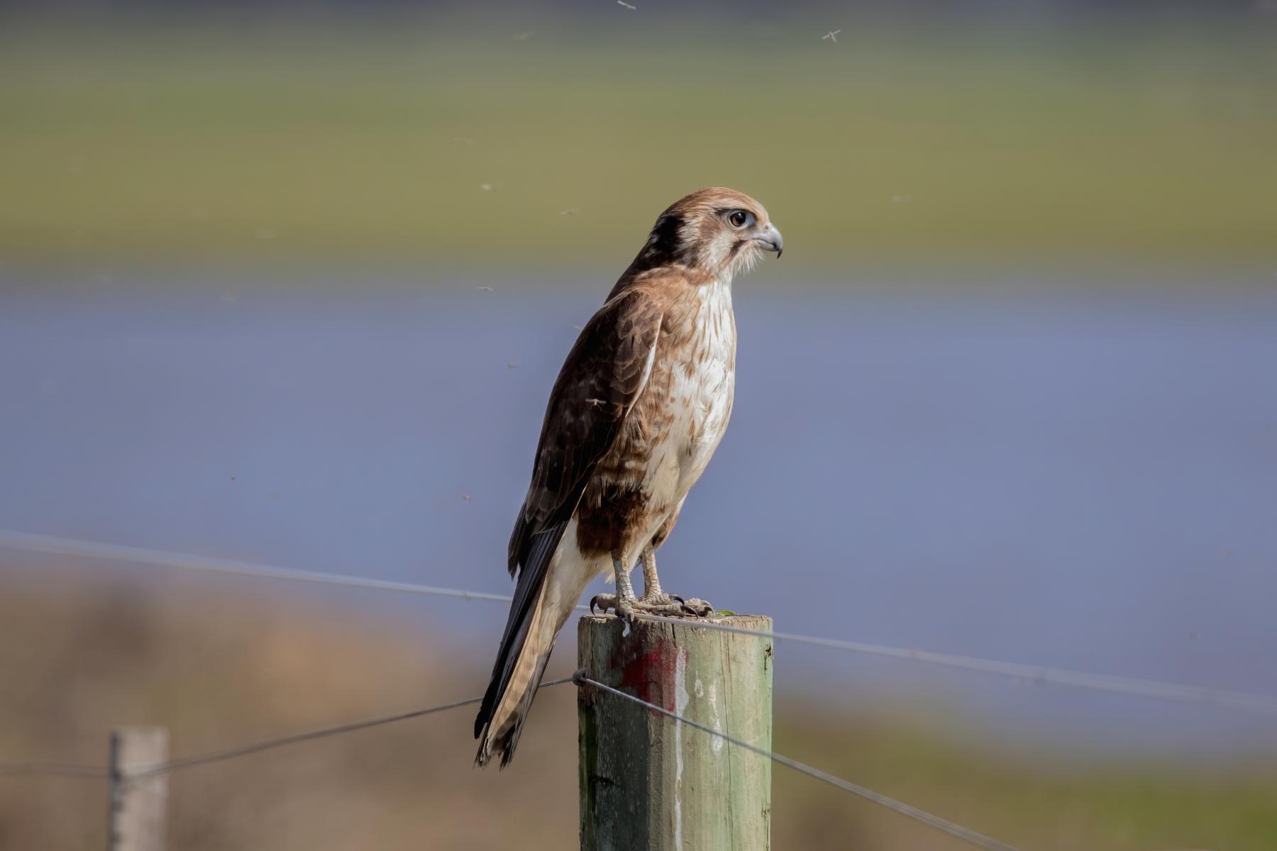 Brown Falcon (Image ID 43926)