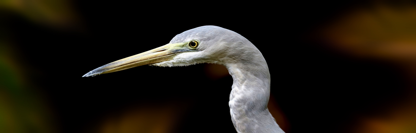White-faced Heron (Image ID 43808)