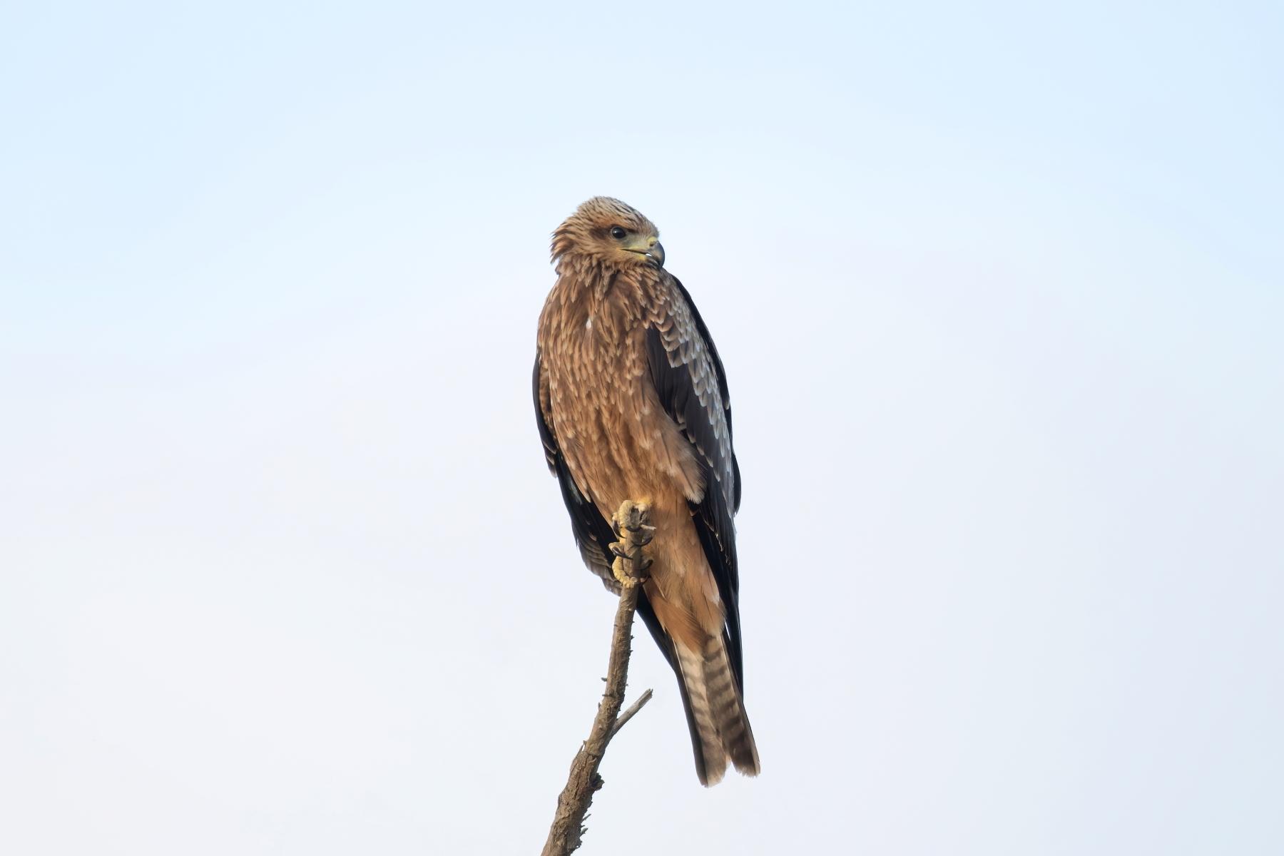 Black Kite (Image ID 43841)